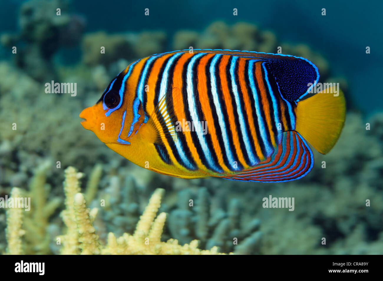 Regal Angelfish (Pygoplites diacanthus), swimming above Stony Coral (Acropora), Great Barrier Reef, UNESCO World - Stock Image