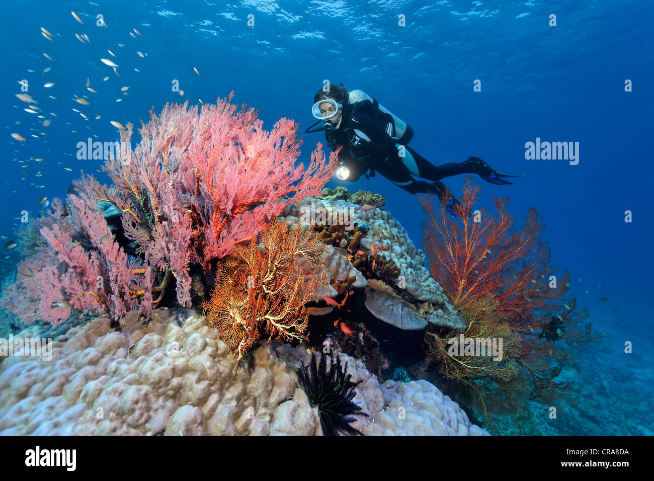 Scuba diver observing various Sea Fans (Melithaea sp.), stone corals and sponges, Great Barrier Reef, UNESCO World - Stock Image