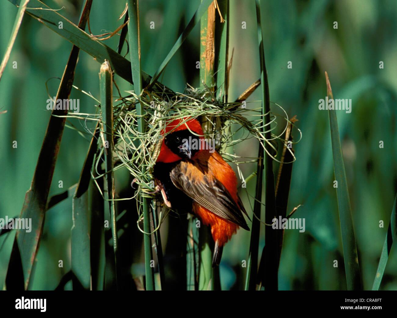 Southern Red Bishop (Euplectes orix), at nest, KwaZulu-Natal, South Africa, Africa - Stock Image
