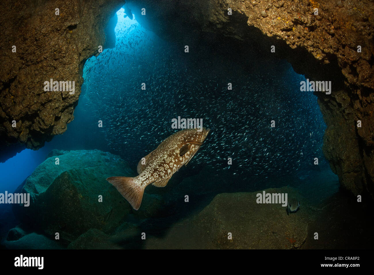 Comb Grouper (Mycteroperca fusca) chasing school of Sand Smelt (Atherina presbyter) in a cave, Madeira, Portugal, - Stock Image