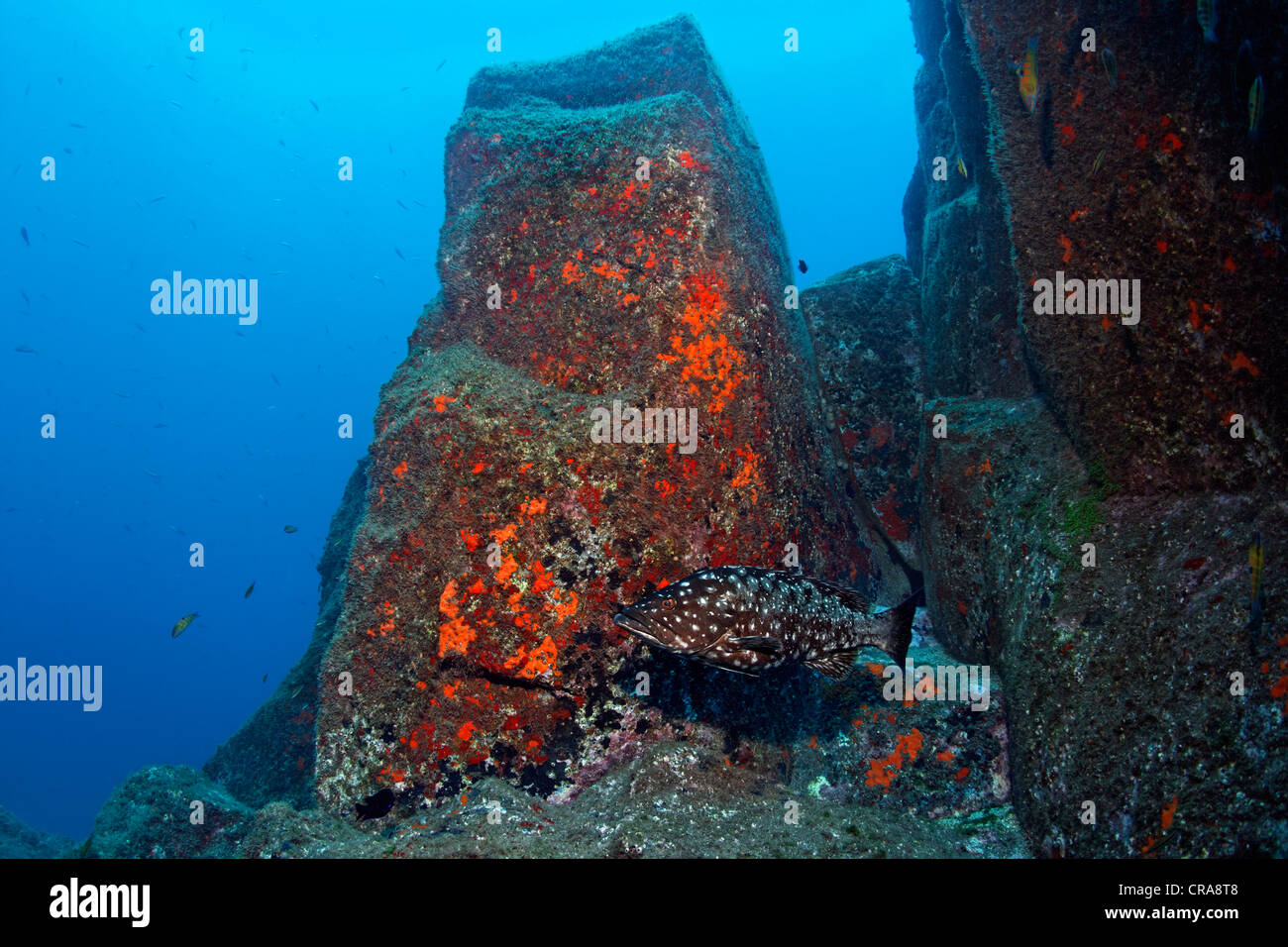 Comb Grouper (Mycteroperca fusca) in front of rocks with Red Sponge (Spirastrella cunctatrix), Madeira, Portugal, - Stock Image