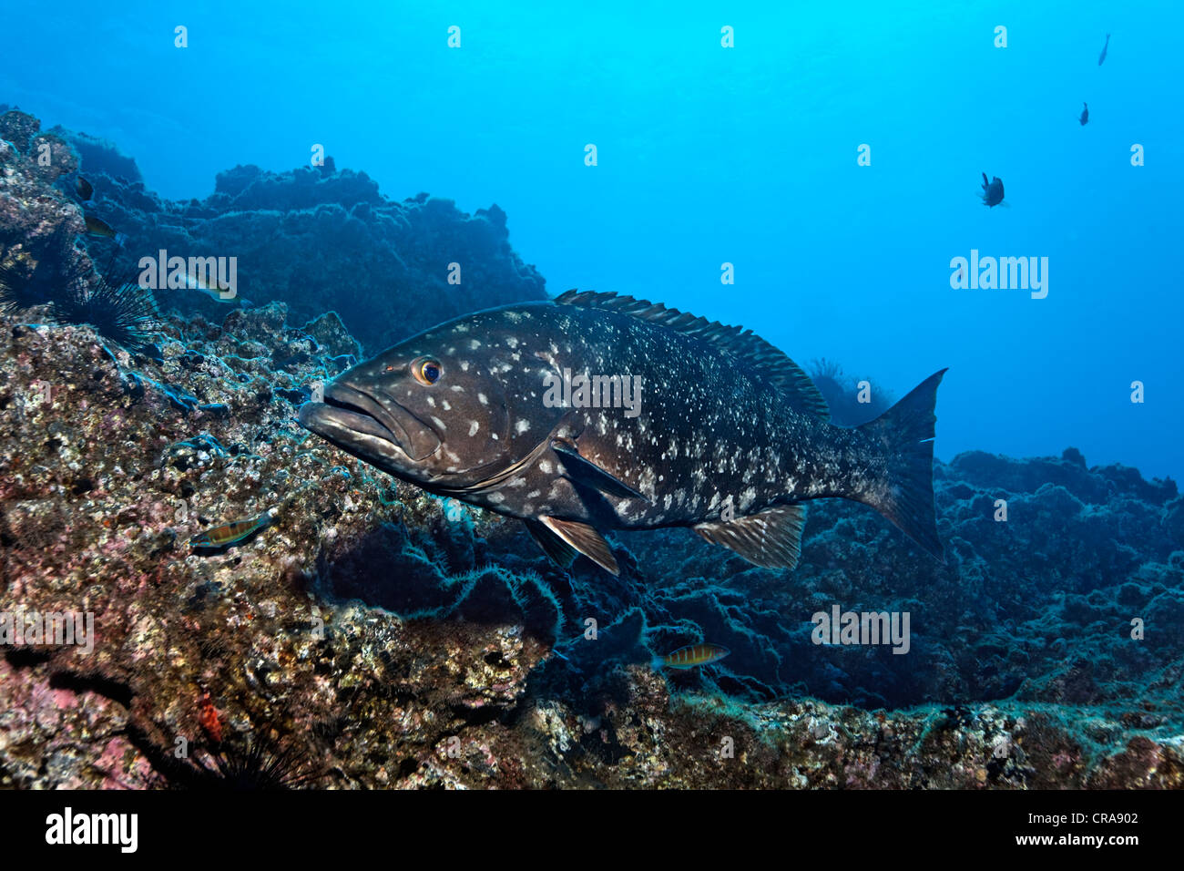 Comb Grouper (Mycteroperca fusca) in front of rocks, Madeira, Portugal, Europe, Atlantic - Stock Image