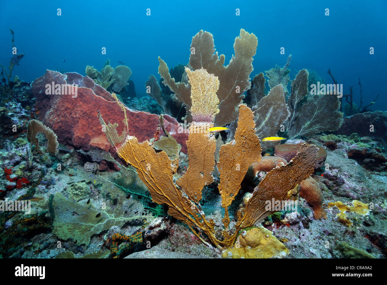 Branching Fire Coral (Millepora alcicornis) covering a Venus Sea Fan (Gorgonia flabellum), coral reef, St. Lucia Stock Photo