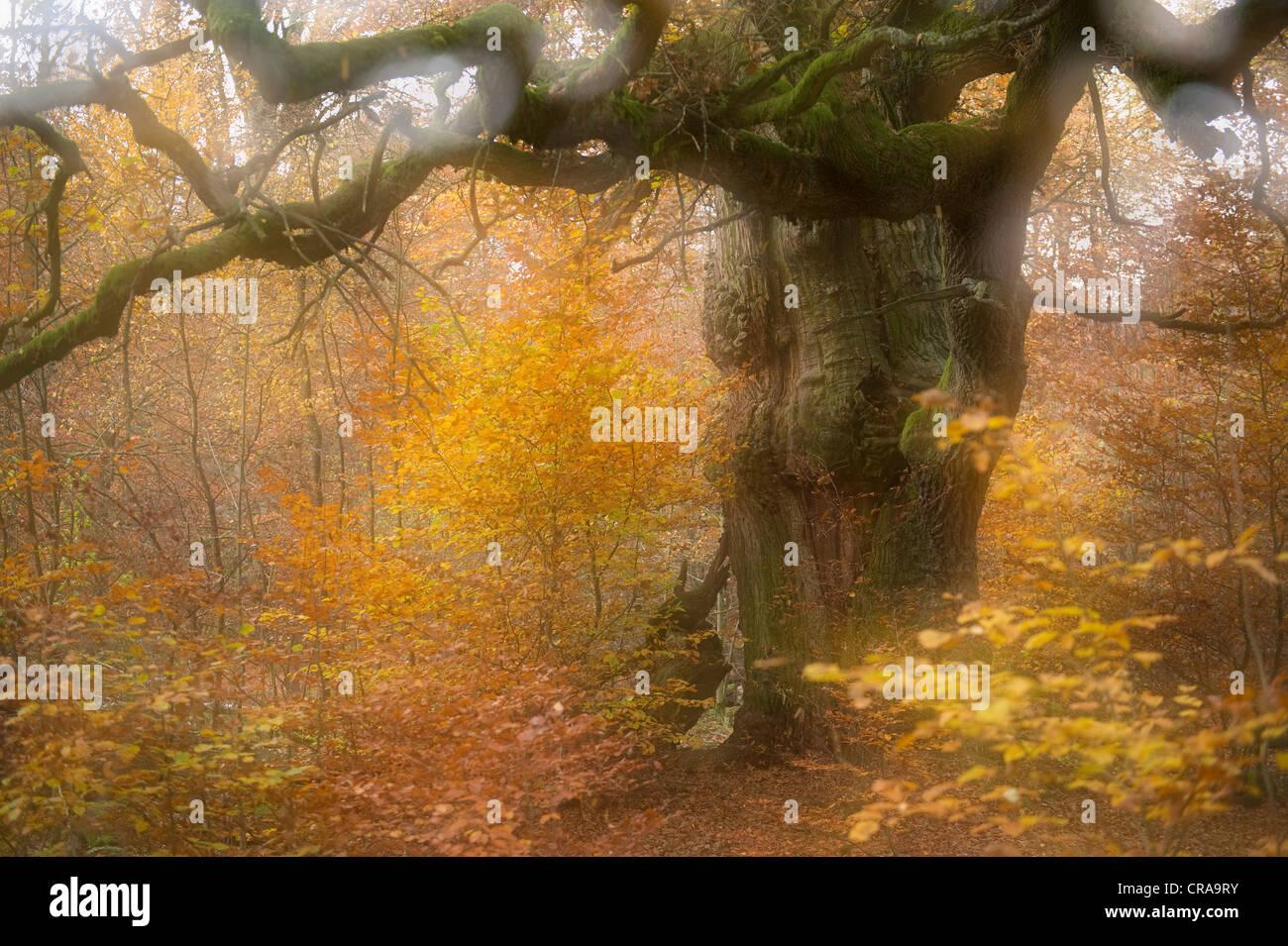 Oak (Quercus), Urwald Sababurg primeval forest, autumn, Reinhardswald, Hofgeismar, North Hesse, Germany, Europe - Stock Image