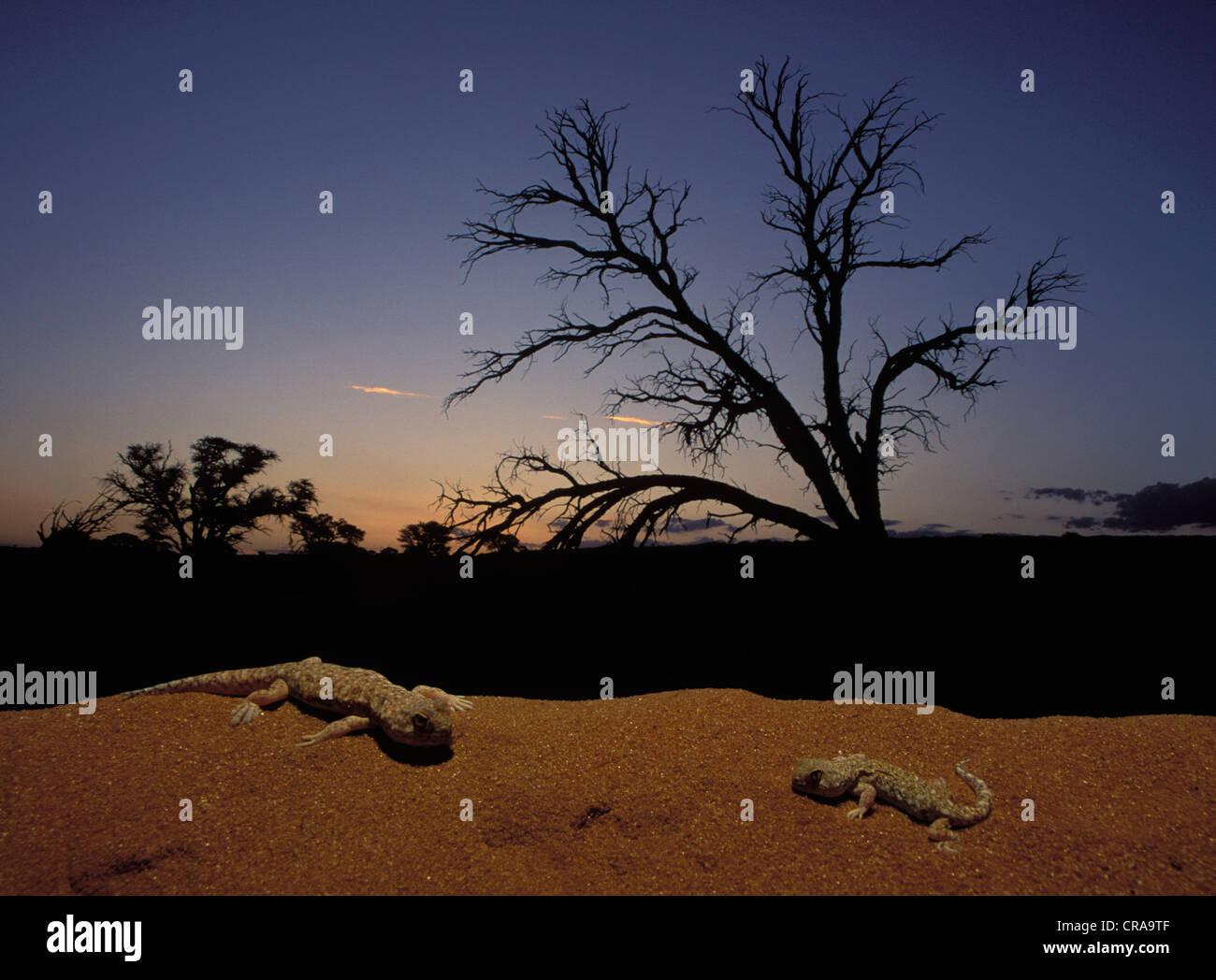 Barking Geckos (Ptenopus garrulus), emerge from burrow at sunset, Kgalagadi Transfrontier Park, Kalahari, South - Stock Image