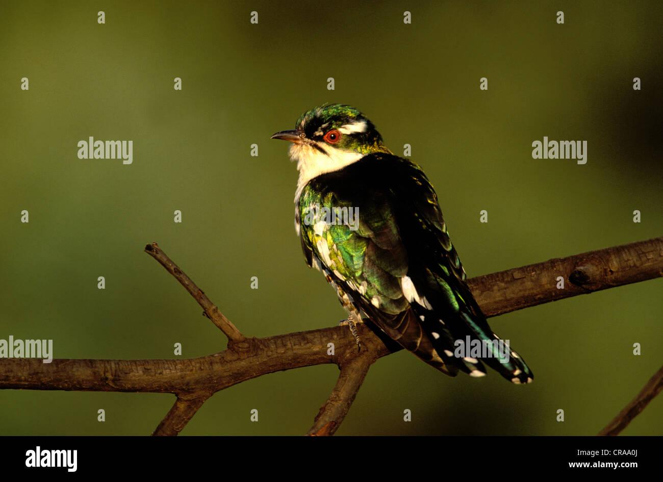 Diderik Cuckoo (Chrysococcyx caprius), KwaZulu-Natal, South Africa - Stock Image
