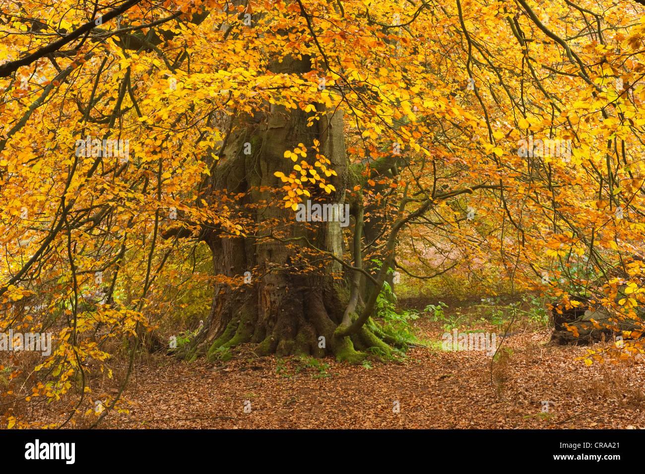 Autumnal Urwald Sababurg primeval forest, Reinhardswald, Hofgeismar, North Hesse, Germany, Europe - Stock Image