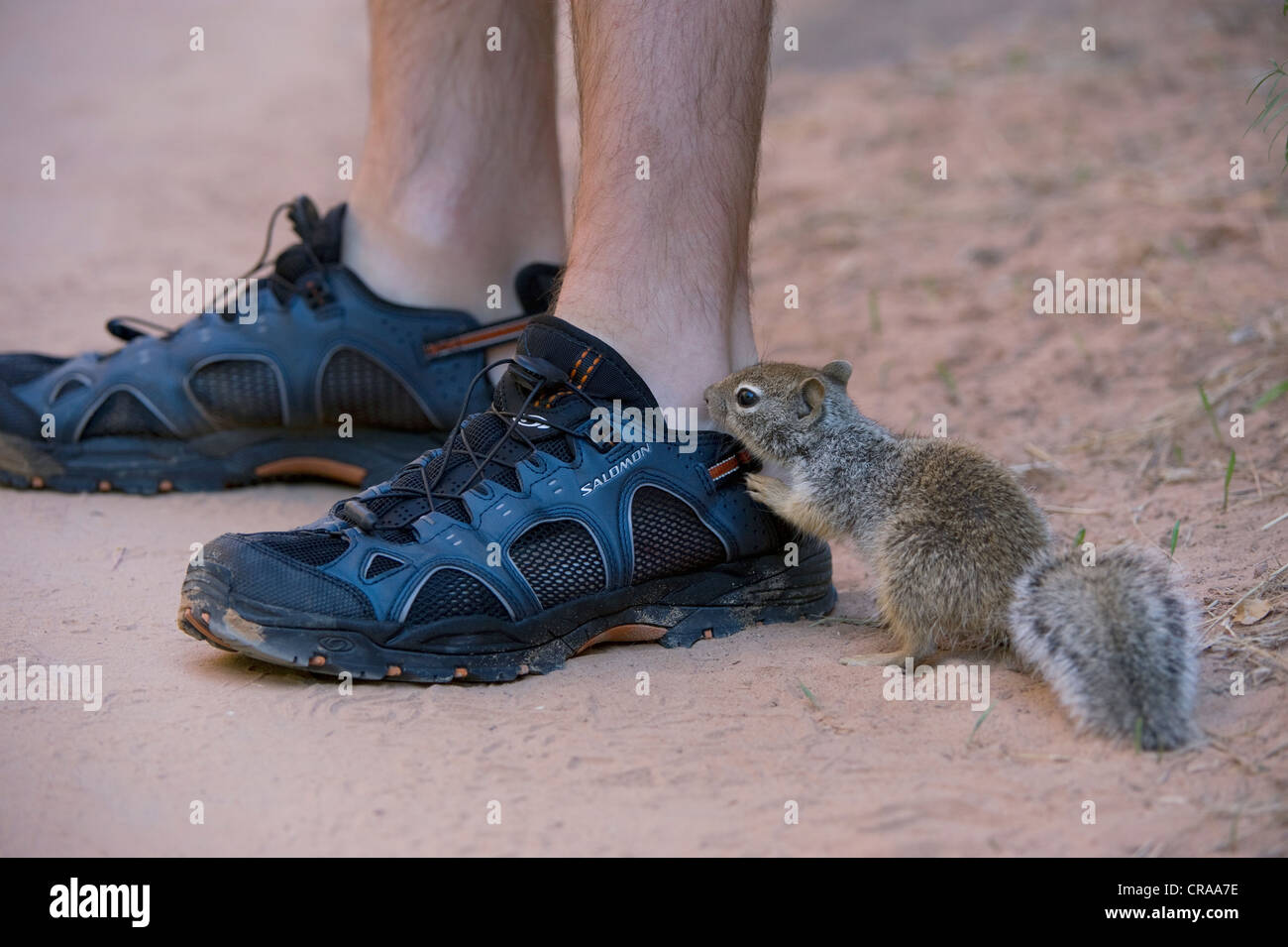 Californian ground squirrel (Otospermophilus beecheyi), curious, at the shoes of a visitor, Zion National Park, - Stock Image