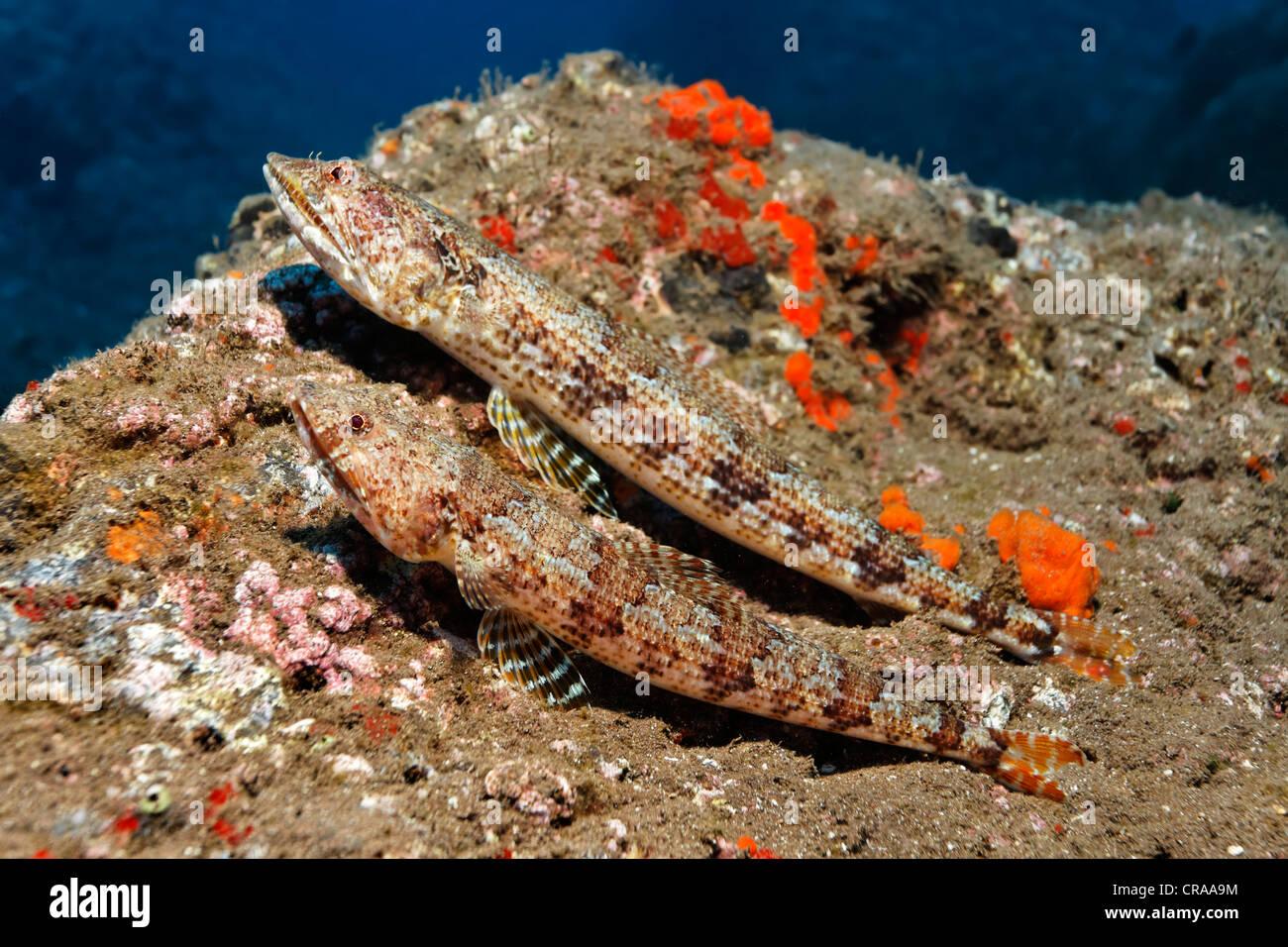 Atlantic Diamond Lizardfish (Synodus synodus), Madeira, Portugal, Europe, Atlantic Ocean - Stock Image
