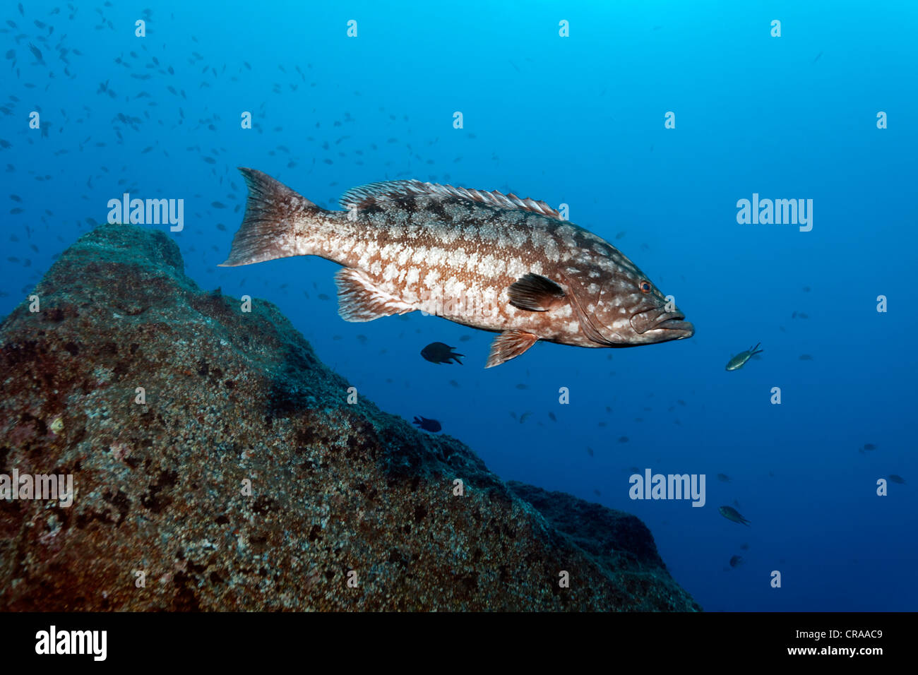 Atlantic Island Grouper or Comb Grouper (Mycteroperca fusca), rocky reef, Madeira, Portugal, Europe, Atlantic Ocean - Stock Image