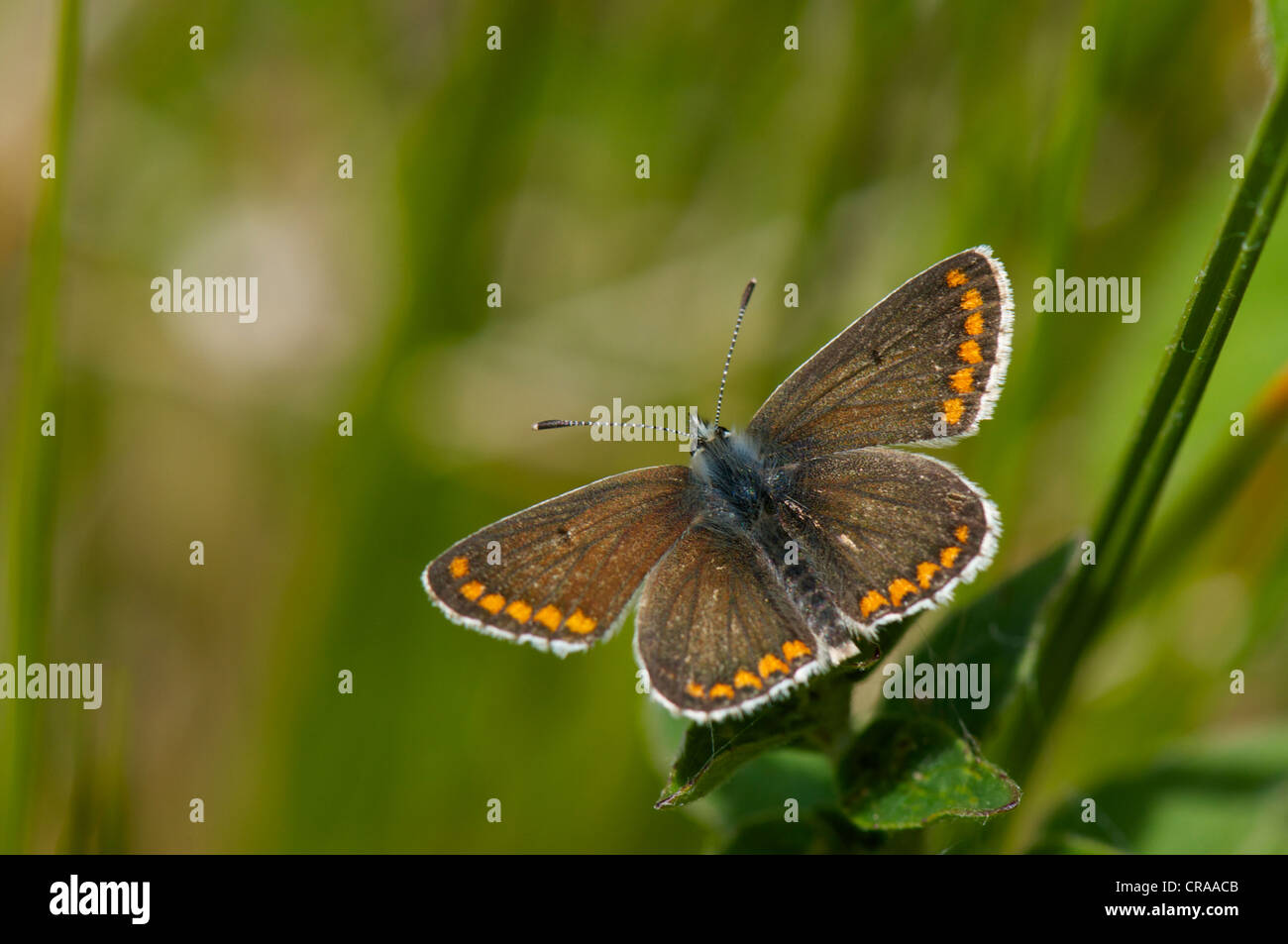 British Brown Argus butterfly basking on grass in typical southern England chalkland grassland environment - Stock Image
