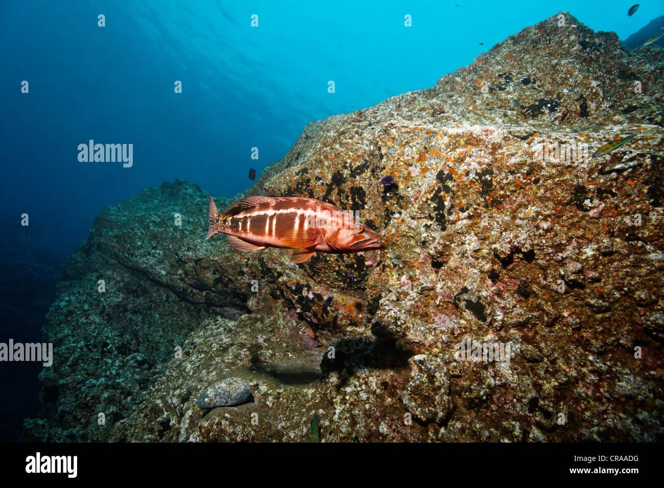 Blacktail Comber (Serranus atricauda), rocky reef, Madeira, Portugal, Europe, Atlantic Ocean - Stock Image