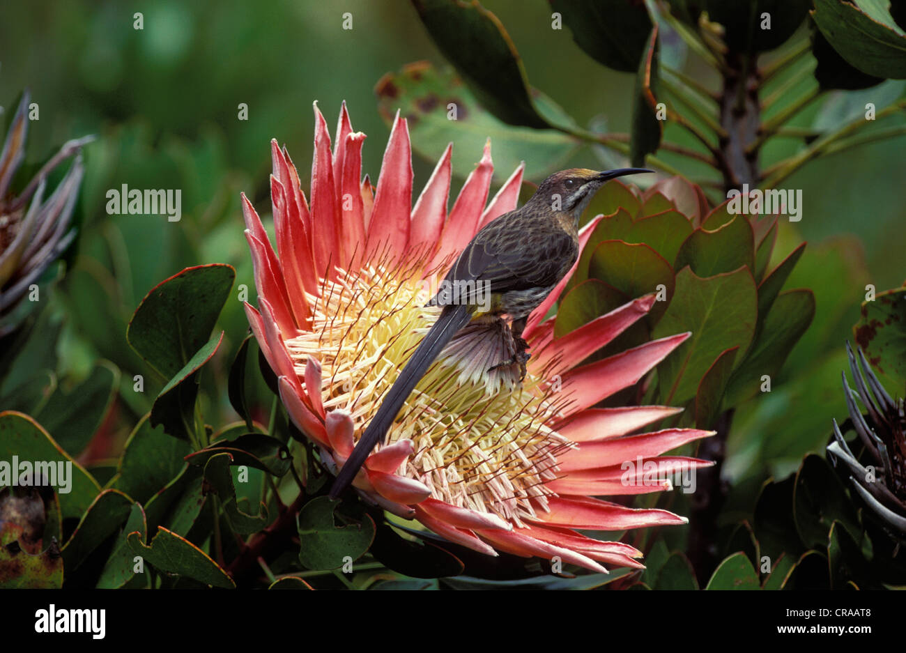 Cape Sugarbird (Promerops caffer), feeding on King Protea nectar, Cape Town, South Africa - Stock Image
