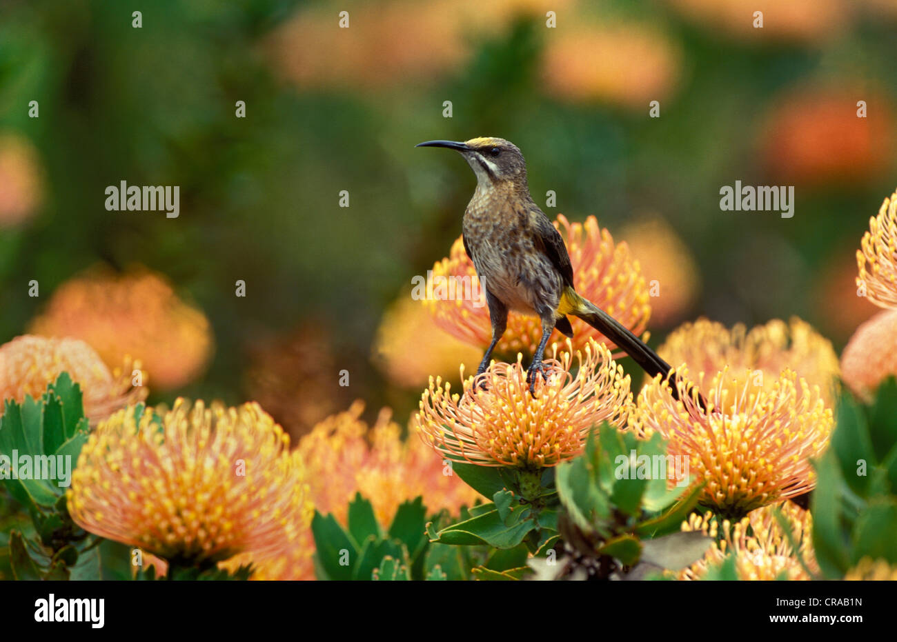 Cape Sugarbird (Promerops caffer), on Pincushion Protea, Helderberg Nature Reserve, Cape South Africa - Stock Image