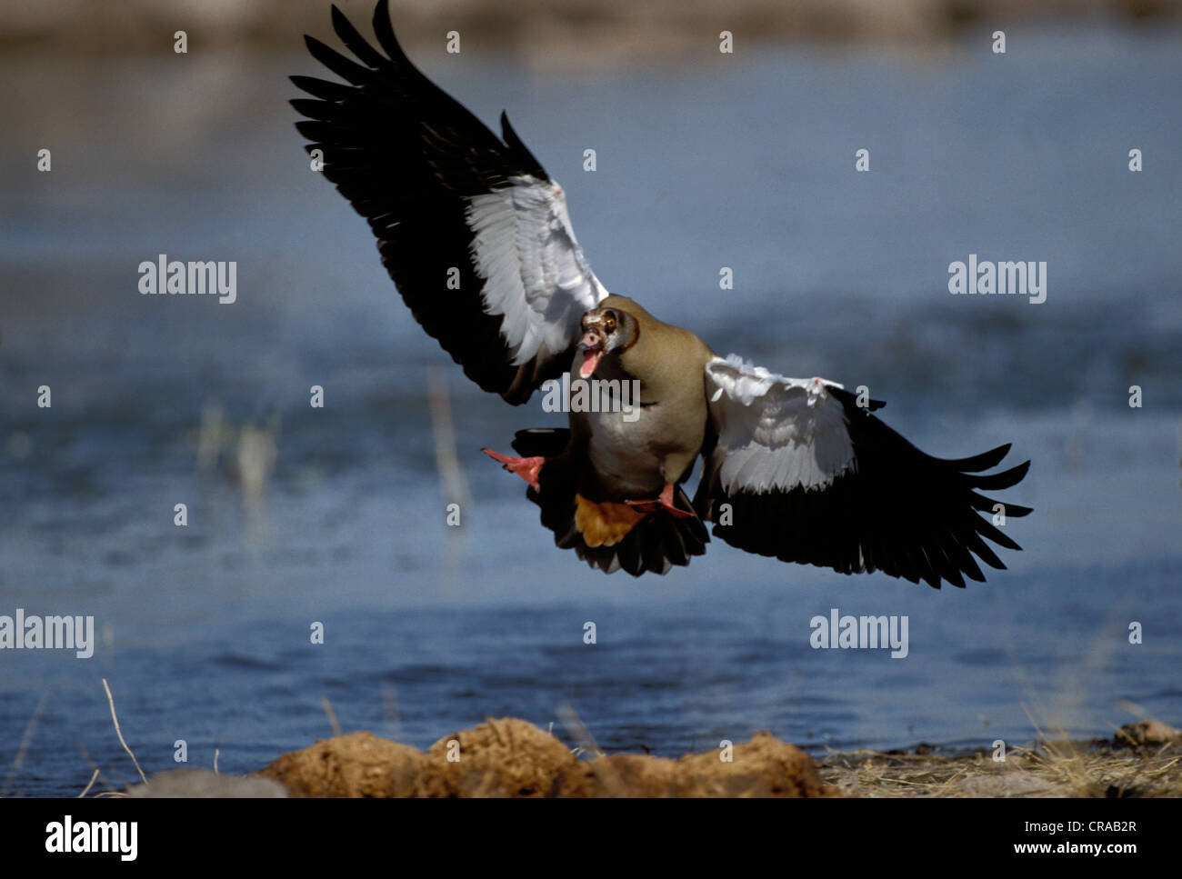 Egyptian Goose (Alopochen aegyptiacus), threat display, Etosha National Park, Namibia, Africa - Stock Image