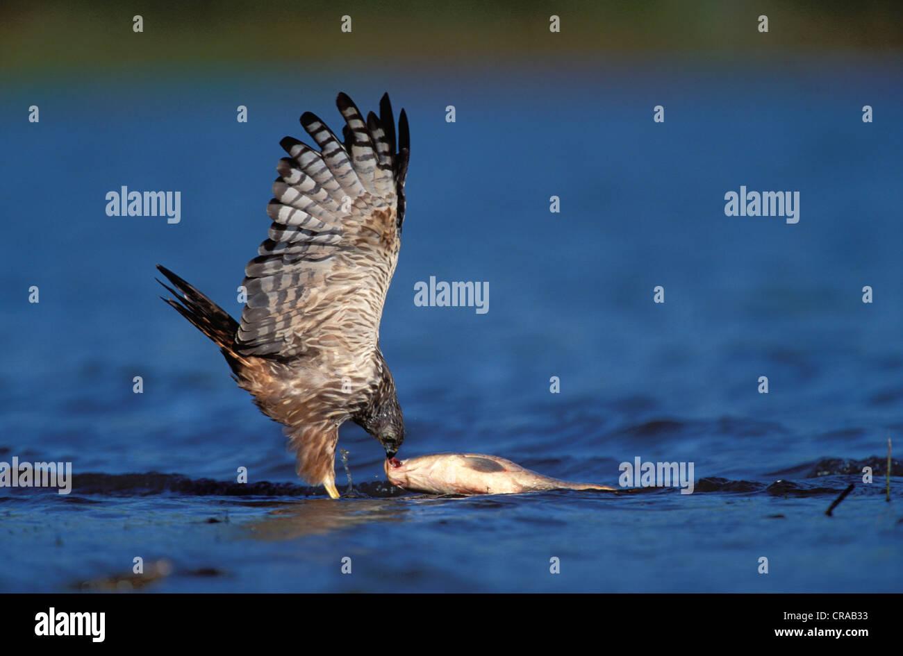 African Marsh Harrier (Circus raninorus), catching fish, KwaZulu-Natal, South Africa - Stock Image