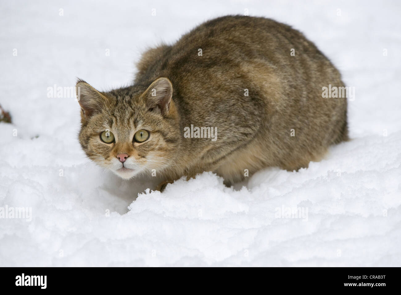 Wild Cat (Felis silvestris) in the snow, Bavarian Forest National Park, enclosed area, Neuschoenau, Bavaria, Germany, - Stock Image