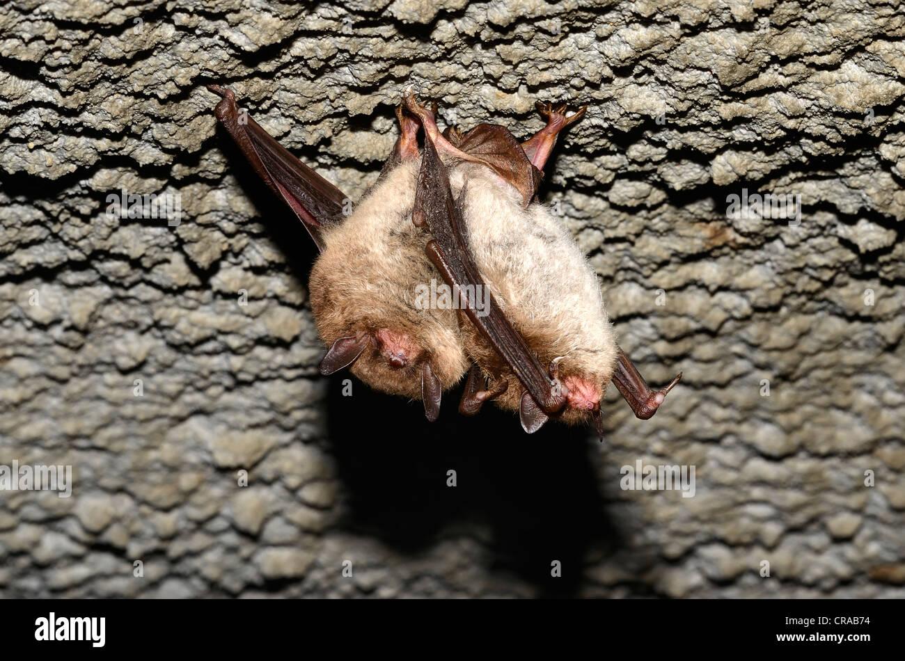 Daubenton's Bats (Myotis daubentoni), species in Annex IV of the Habitats Directive, in winter quarters, hibernating - Stock Image