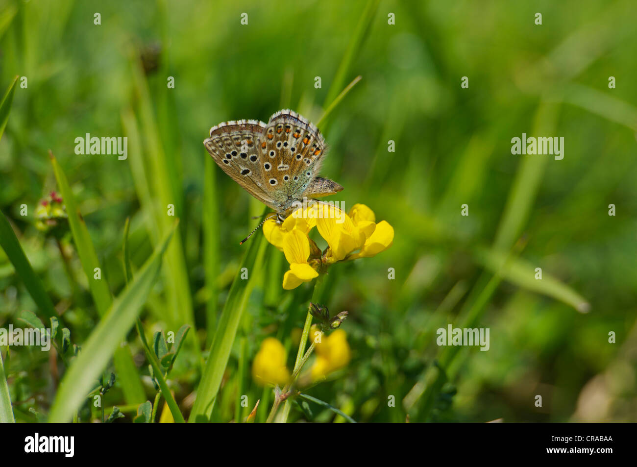 British Adonis Blue female butterfly feeding on Horseshoe Vetch in typical chalkland grassland environment - Stock Image