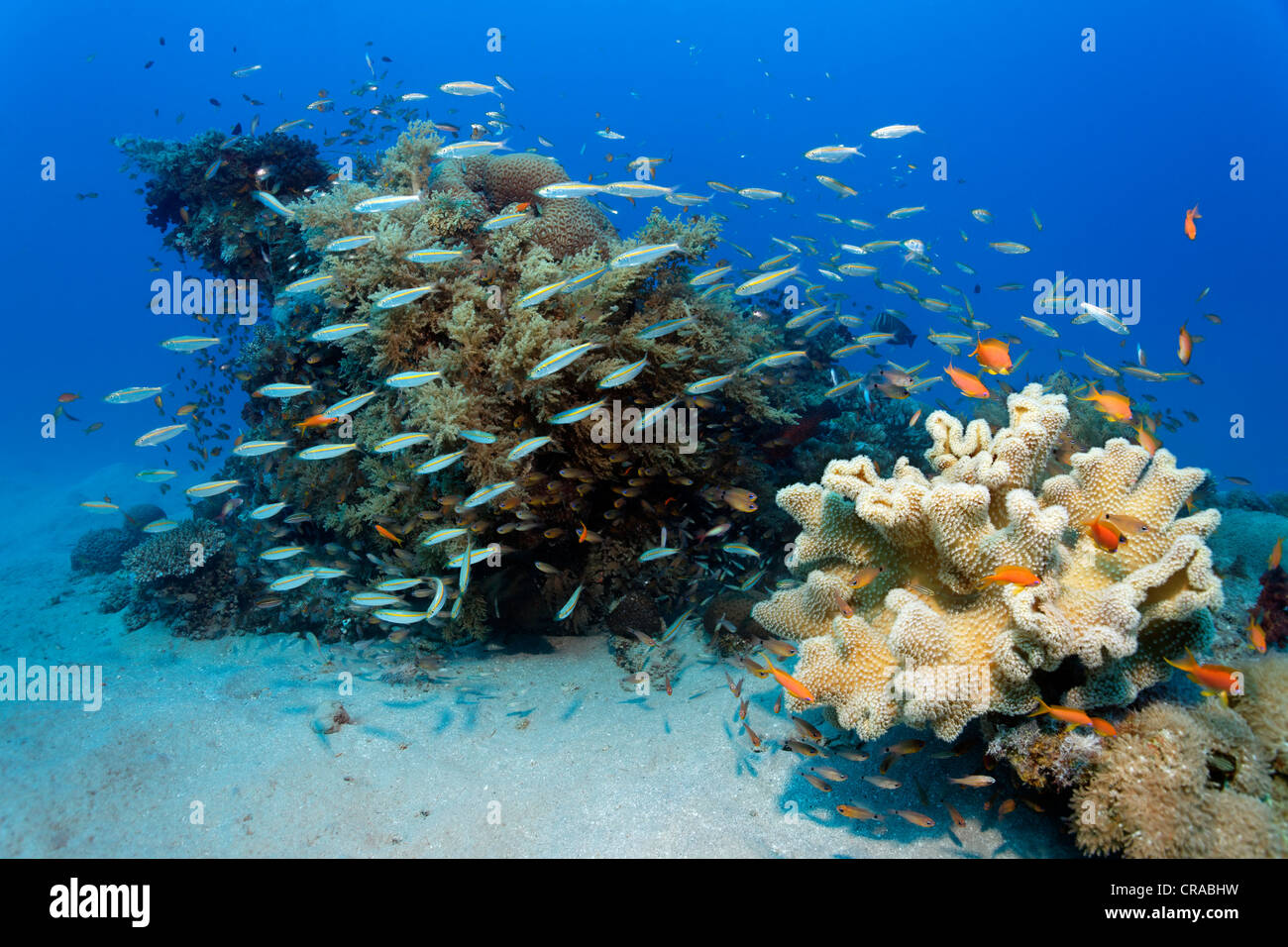 School of yellow stripe or gold band Fusilie (Caesio caerulaureus), hunting above small coral reef with different - Stock Image