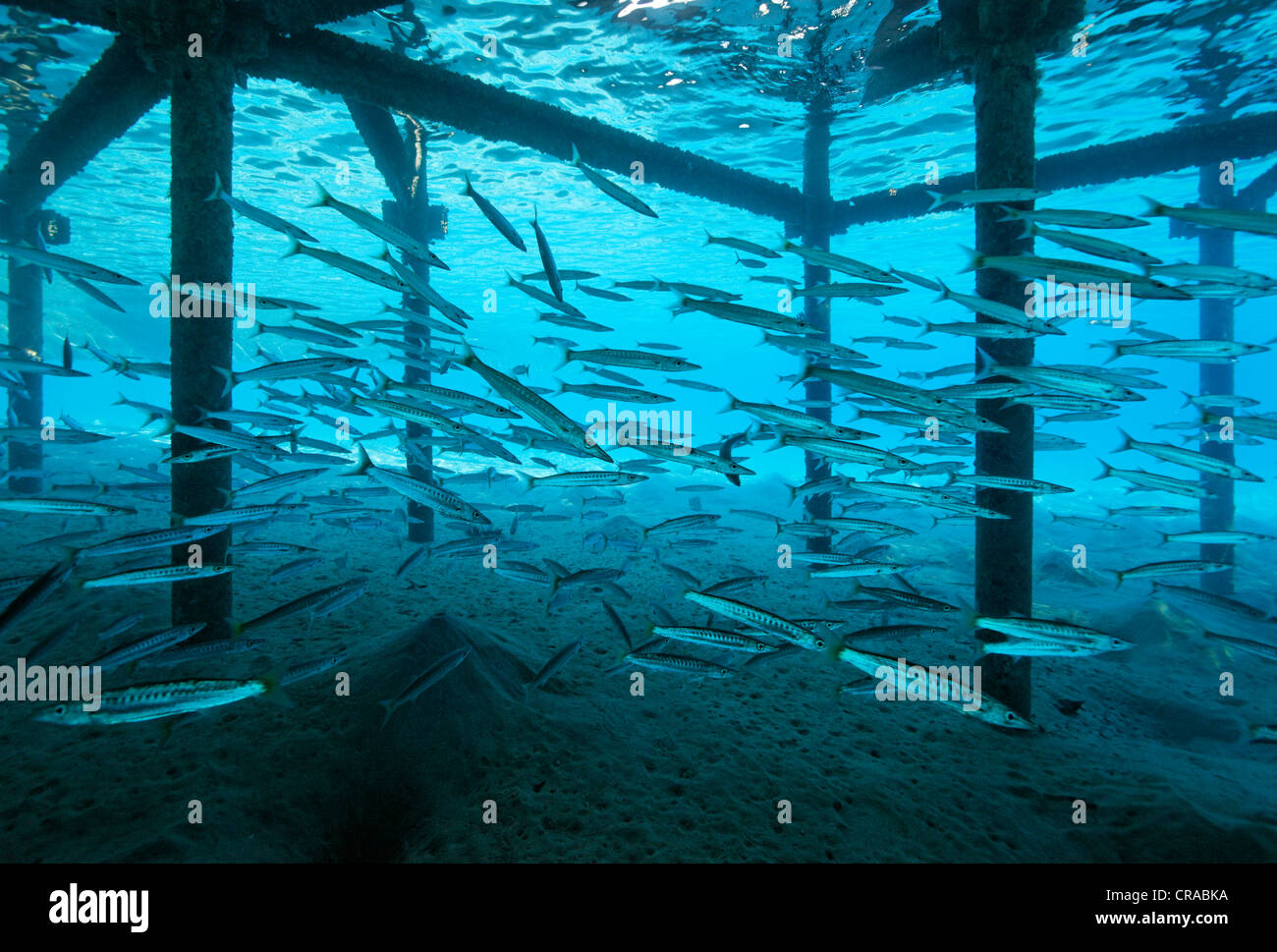 Shoal of Blackfin Barracudas (Sphyraena qenie) under jetty, Makadi Bay, Hurghada, Egypt, Red Sea, Africa - Stock Image