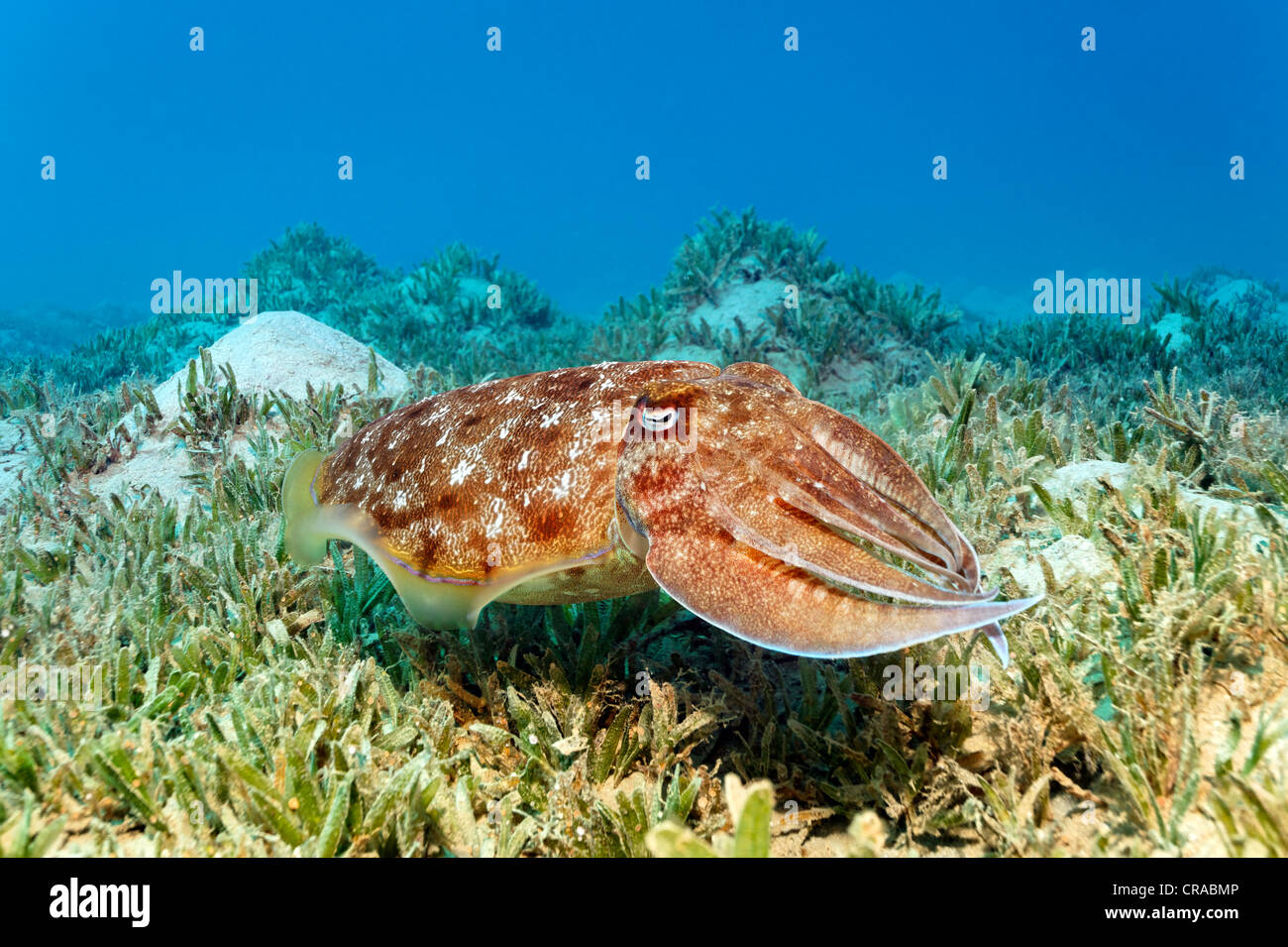 Broadclub Cuttlefish (Sepia latimanus) above sea weed, Makadi Bay, Hurghada, Egypt, Red Sea, Africa - Stock Image