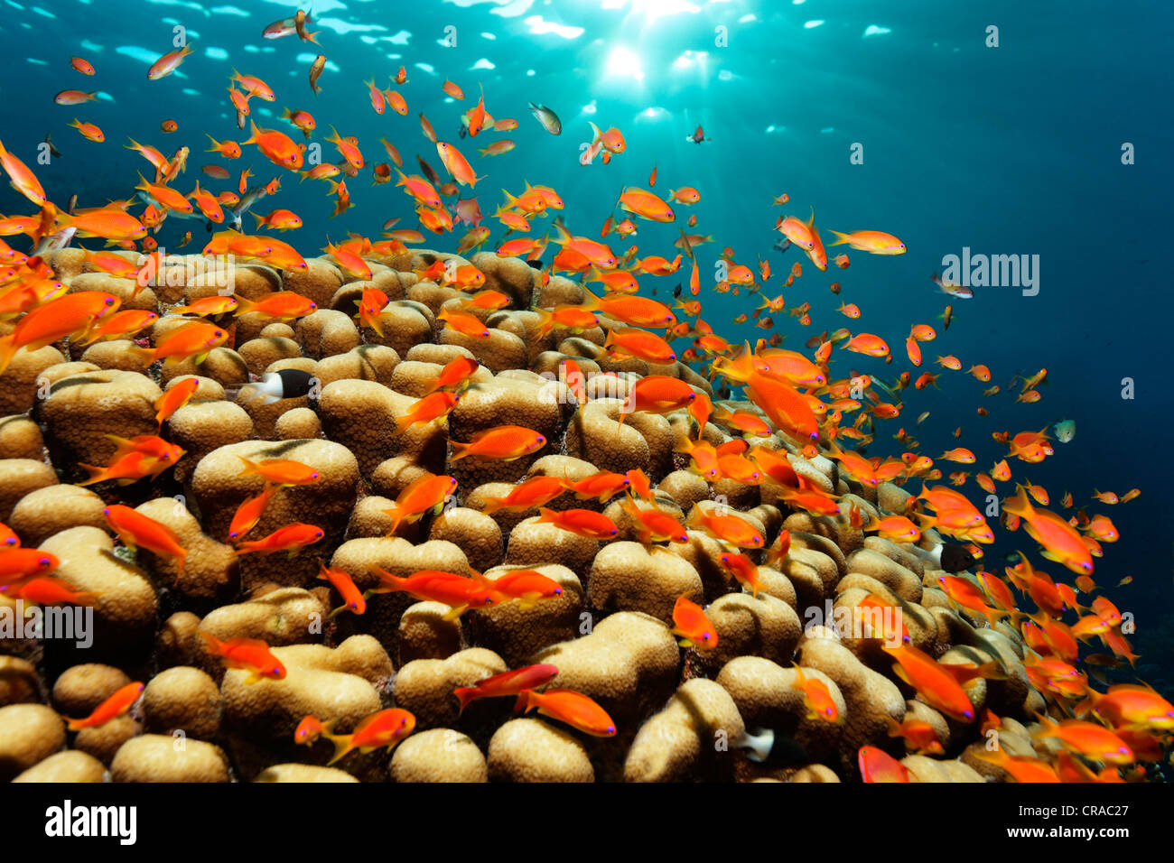 Shoal of lyretail coralfish, sea goldies (Pseudanthias squamipinnis) swimming above stone corals in the sun, Daedalus - Stock Image