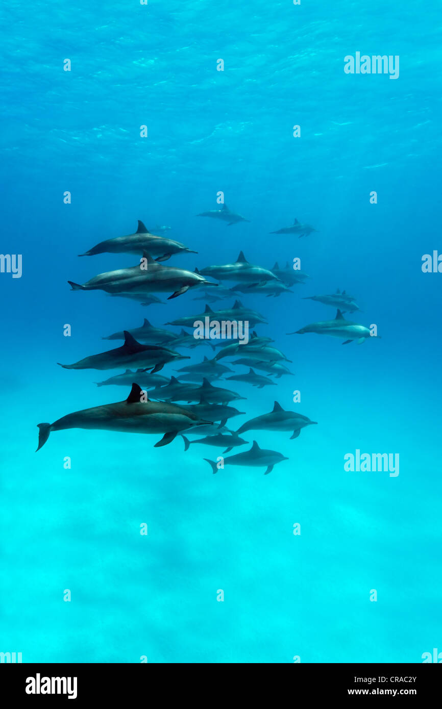 Shoal of spinner dolphins (Stenella longirostris), swimming in a lagoon, Sharp Samaday, Egypt, Red Sea, Africa - Stock Image