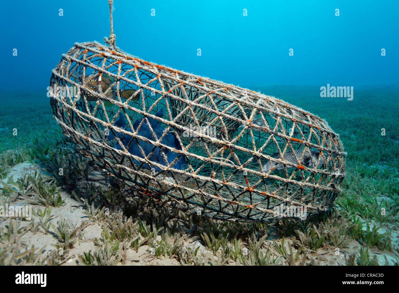 Round wire fish trap with Blue Triggerfish (Pseudobalistes fuscus), Yellow Boxfish (Ostrcion cubicus), White-Spotted - Stock Image