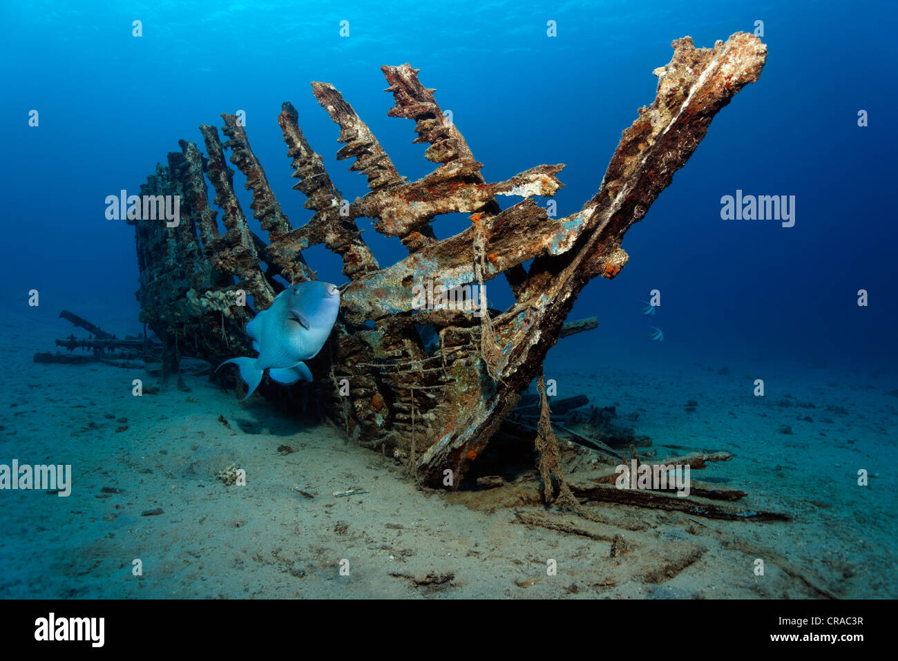 Blue, Trigger fish or Yellow-Spotted Triggerfish (Pseudobalistes fuscus) in front of a wooden ship wreck, Makadi - Stock Image