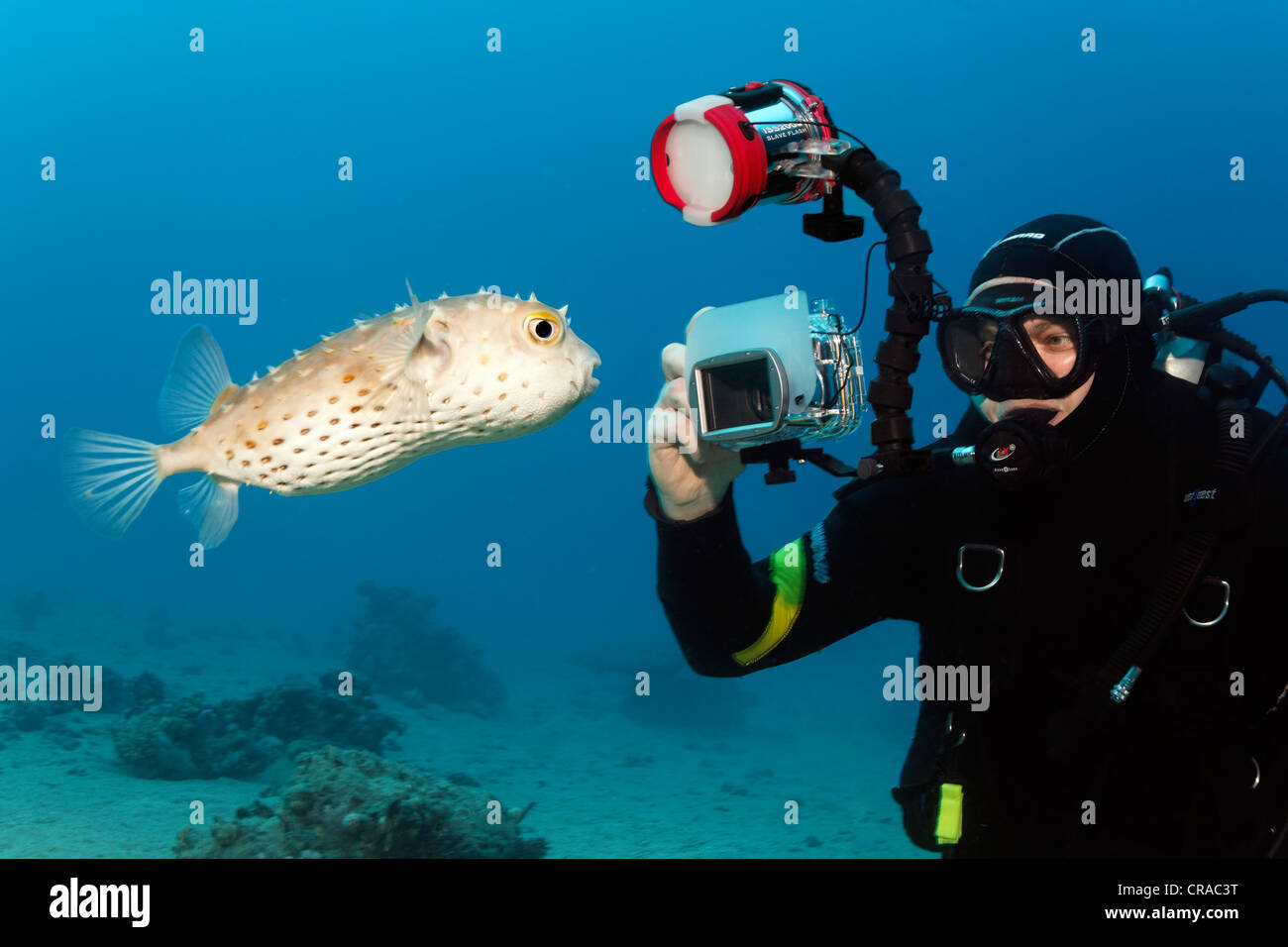 Diver with underwater camera taking photo of Yellow-spotted Burrfish (Chilomycterus spilostylus), Makadi Bay, Hurghada, - Stock Image