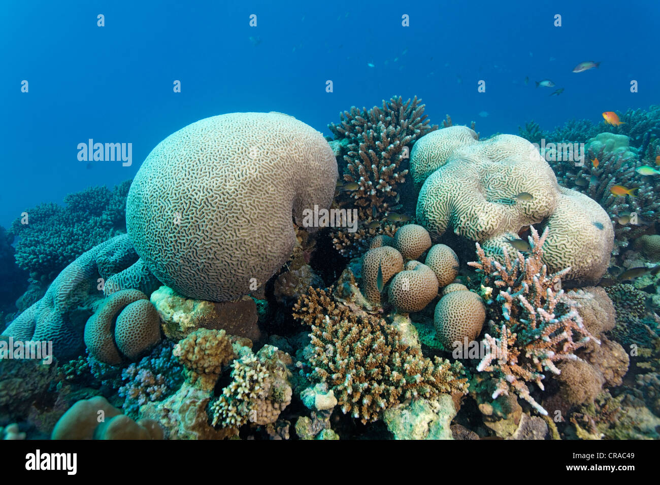 Coral reef with various stone corals, Makadi Bay, Hurghada, Egypt, Red Sea, Africa - Stock Image