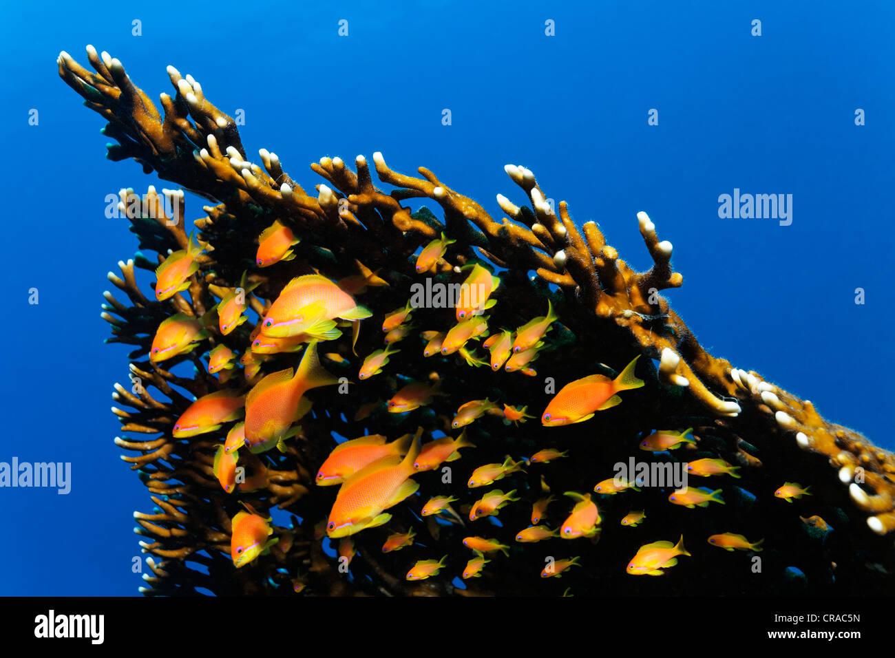 Fairy basselets (Antiinae) in current beside a Red Sea Fire Coral (Millepora dichotoma), Makadi Bay, Hurghada, Egypt, - Stock Image