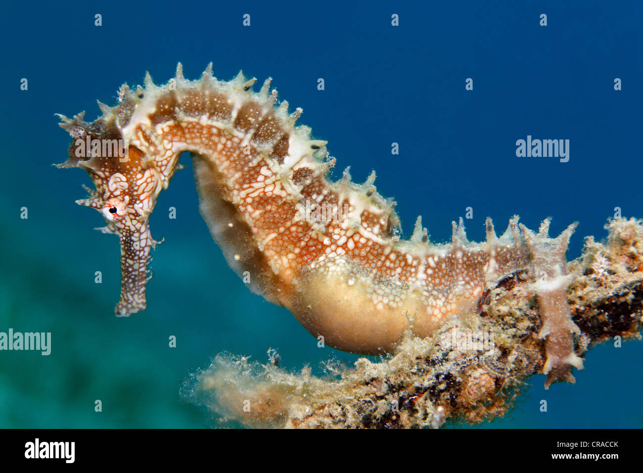 Thorny Seahorse (Hippocampus histrix) clinging to small anchor, Makadi Bay, Hurghada, Egypt, Red Sea, Africa - Stock Image
