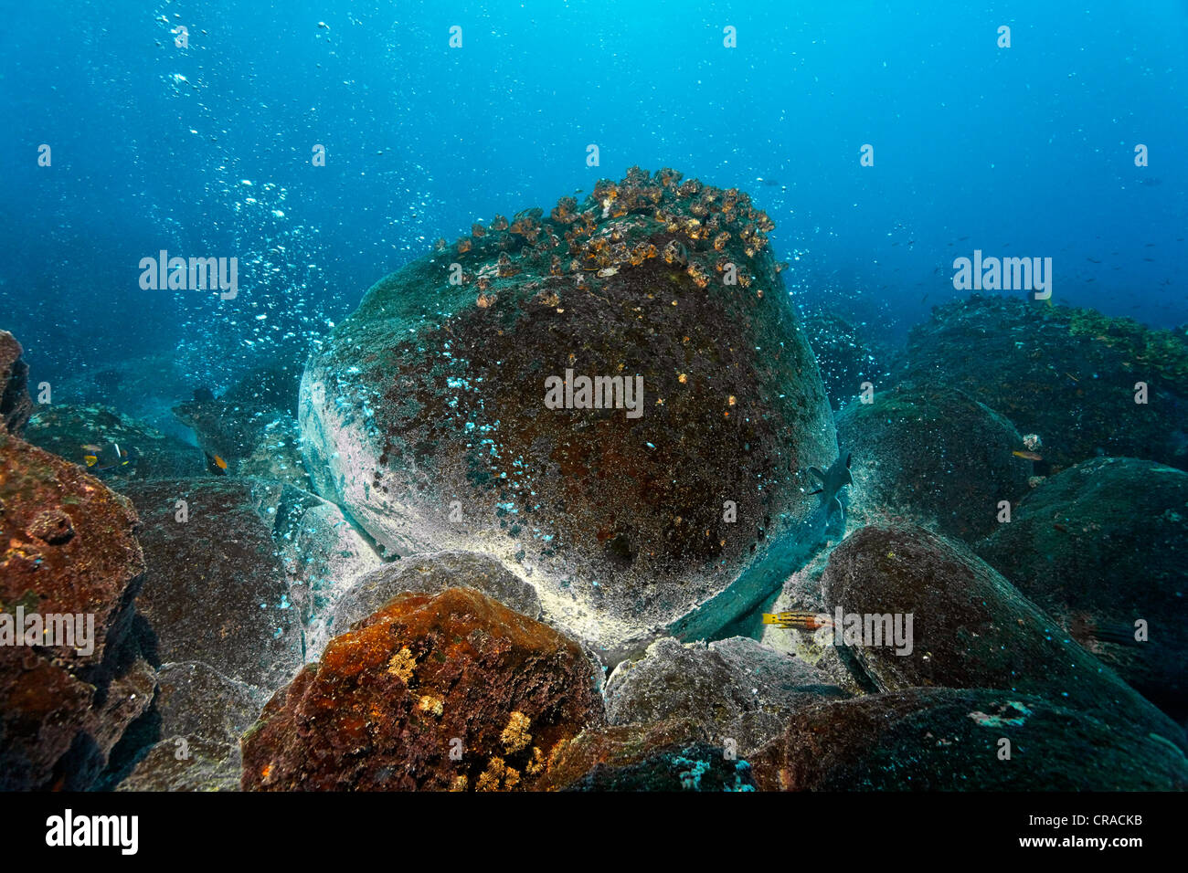 Rocks over a volcanic hot spot, white mineral deposits, hot springs, gas bubbles, overgrown, barnacles (Balanidae), - Stock Image
