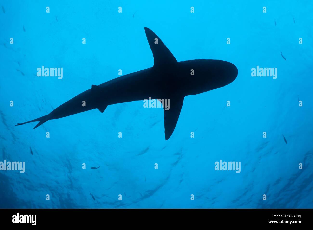 Galapagos Shark (Carcharhinus galapagensis), silhouette from below, Teodoro Wolf Island or Wenman Island, Galapagos - Stock Image
