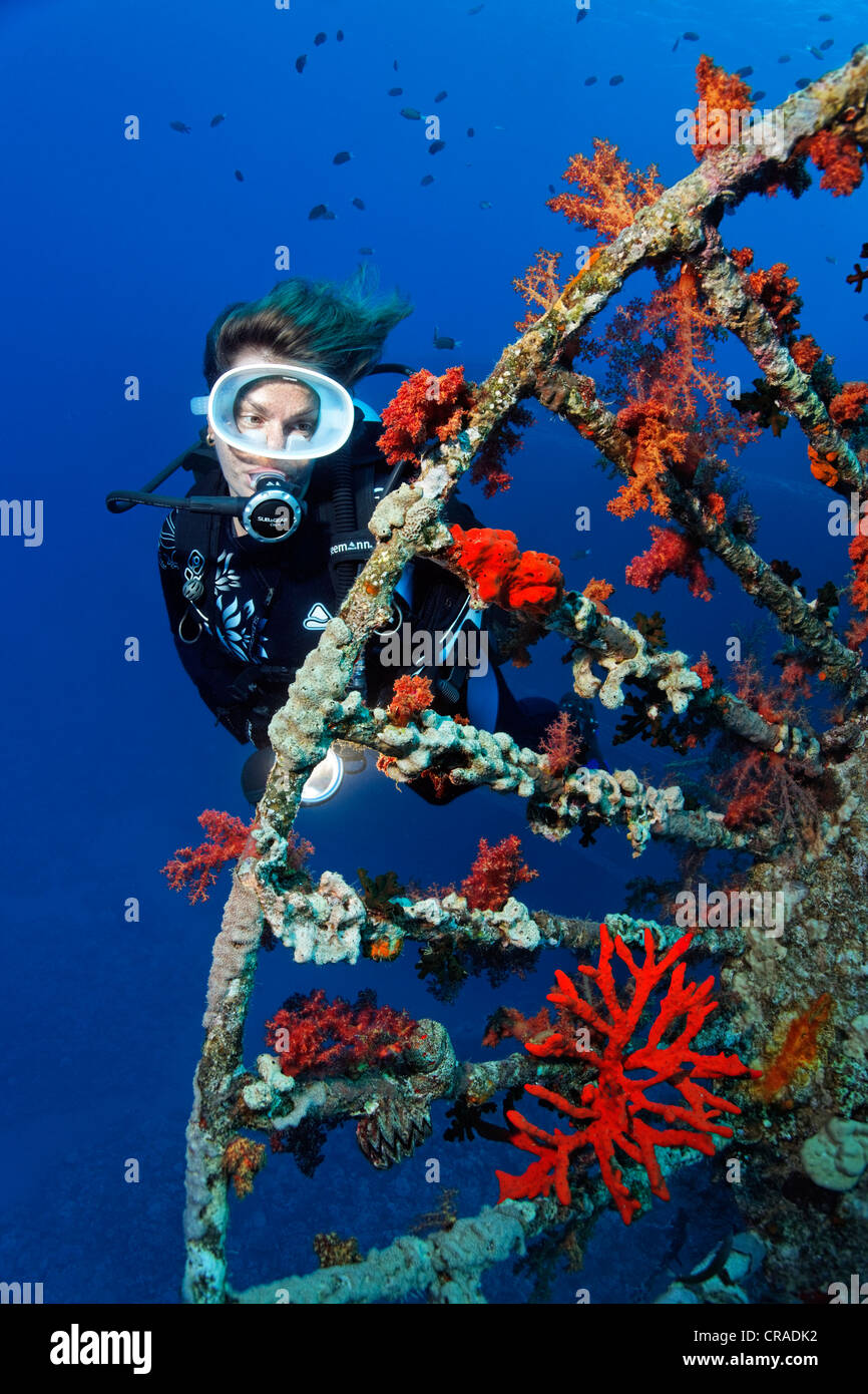 Diver at lookout overcrusted with soft corals (Dendronephthya klunzingeri), shipwreck, Cedar Pride, Red Sea - Stock Image