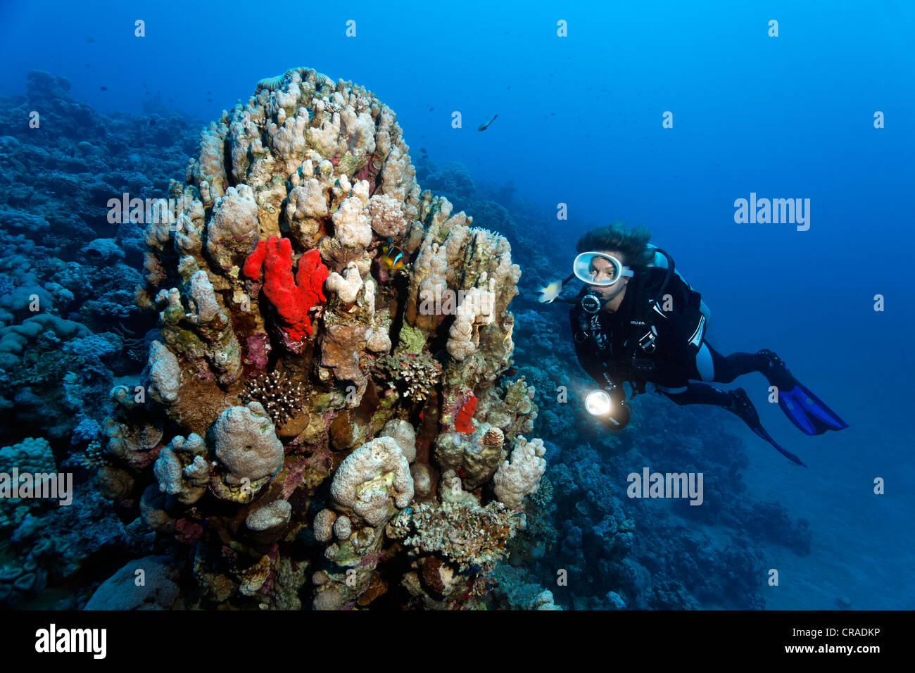 Diver, reefslope with coral block, several stone corals, sponges, Hashemite Kingdom of Jordan, Red Sea, Western - Stock Image