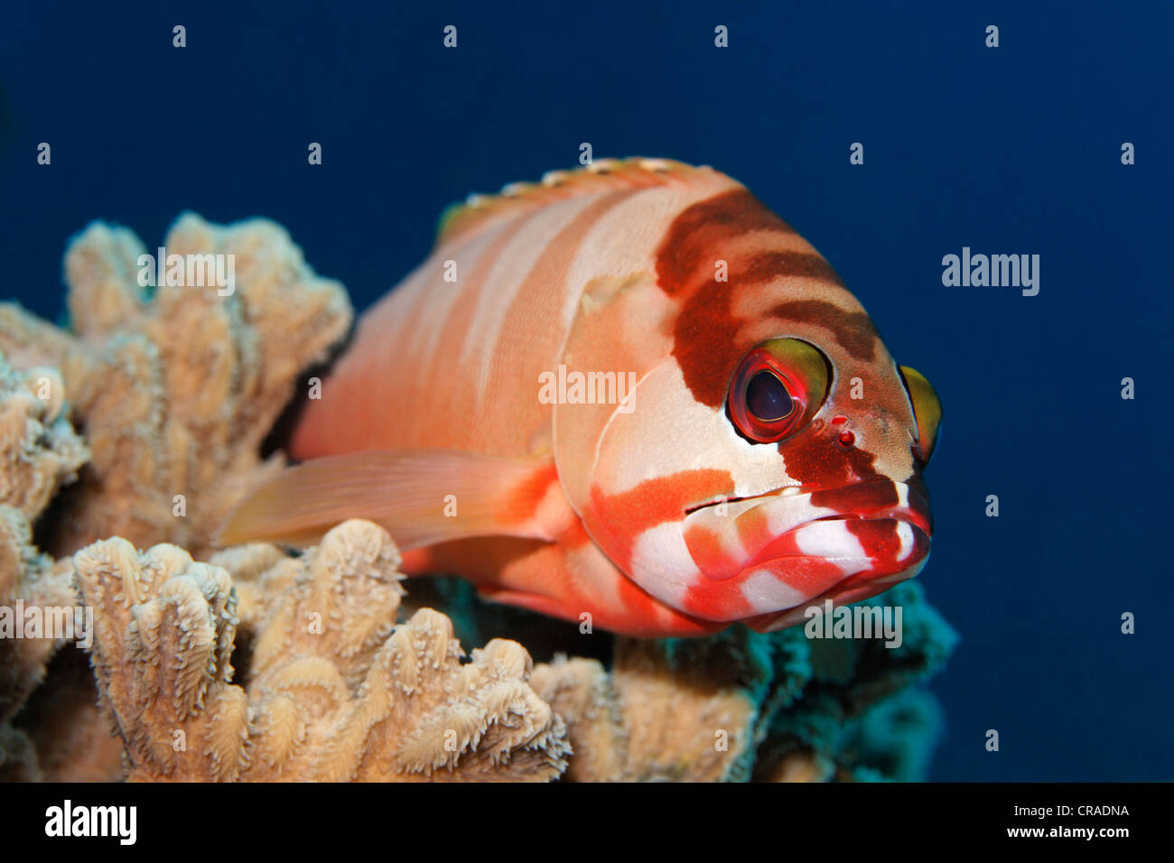 Blacktip Grouper (Epinephelus fasciatus) lying in wait for prey, Hashemite Kingdom of Jordan, JK, Red Sea, Western - Stock Image