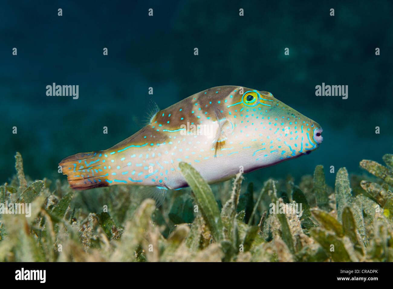 Crowned toby pufferfish (Canthigaster coronata), above sea weed, Hashemite Kingdom of Jordan, JK, Red Sea, Western Stock Photo