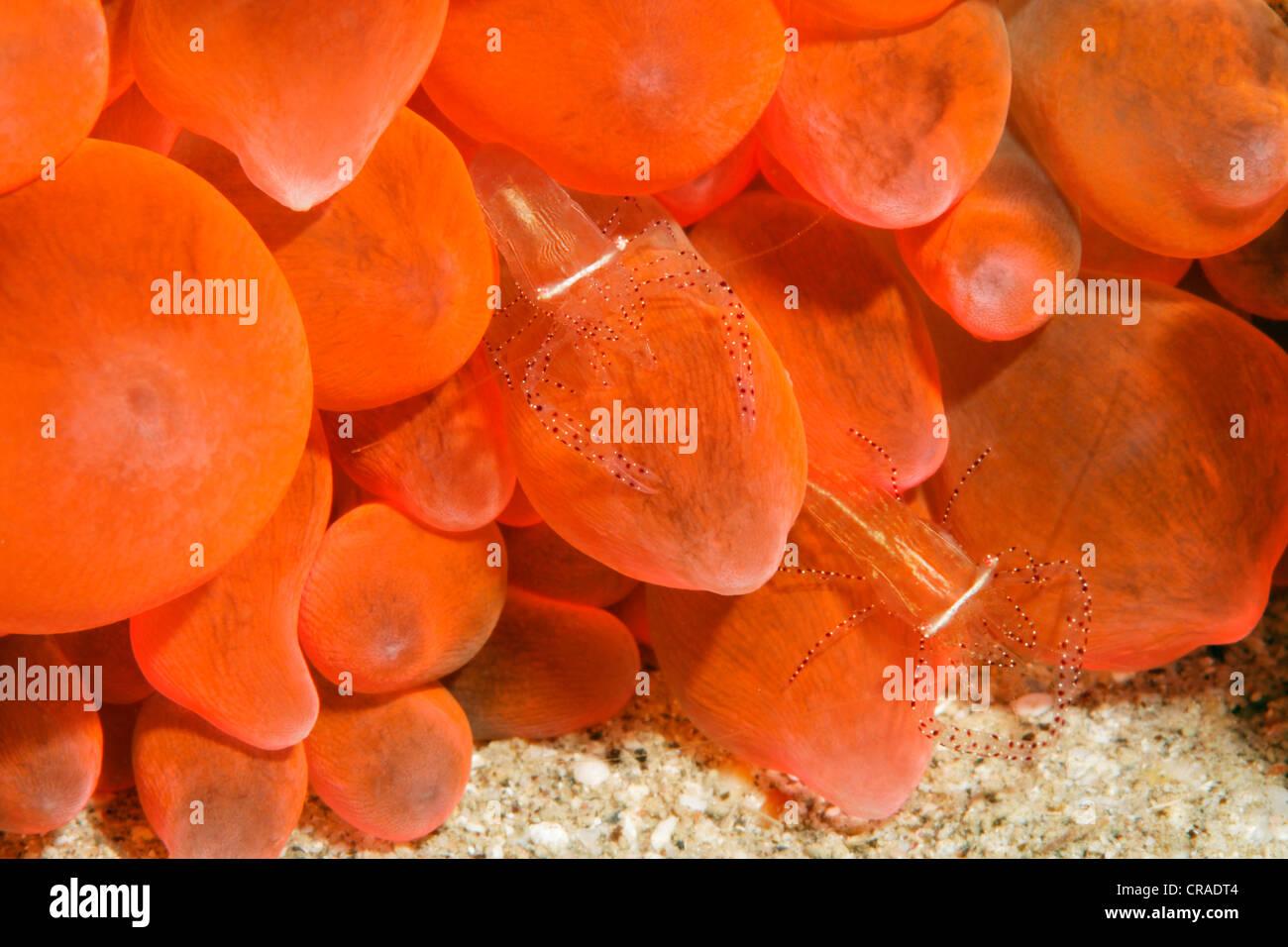 Pair of Anemone Shrimps (Periclimenes ornatus) in red sea anemone, Hashemite Kingdom of Jordan, JK, Red Sea, Western - Stock Image