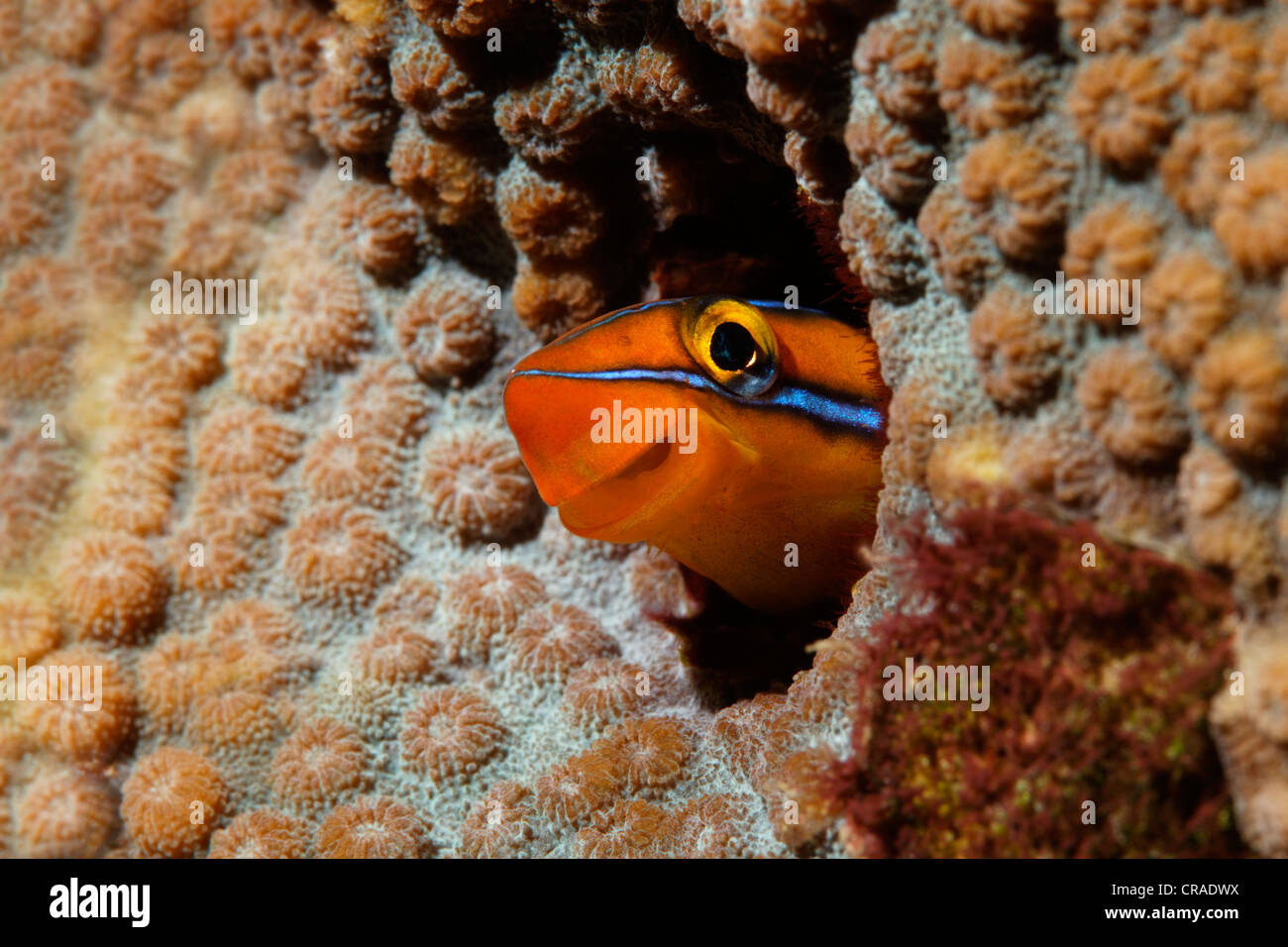 Mimic blenny or Piano fangblenny (Plagiotremus tapeinosoma) looking out of home in coral, Hashemite Kingdom of Jordan, - Stock Image