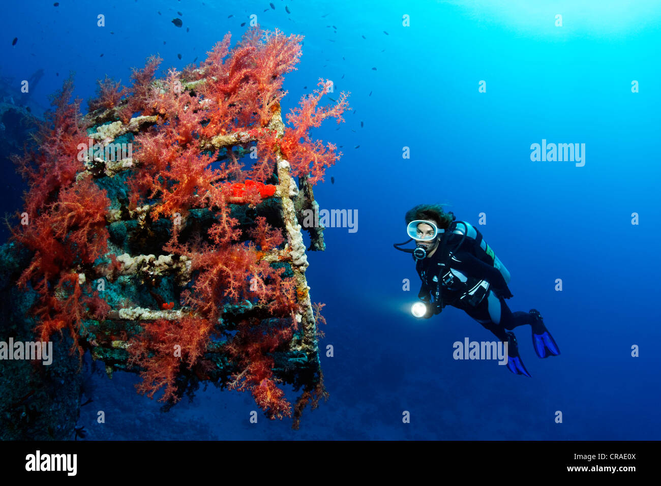 Diver at lookout overcrusted with Vibrant Broccoli coral (Dendronephthya klunzingeri), shipwreck, Cedar Pride, Red - Stock Image