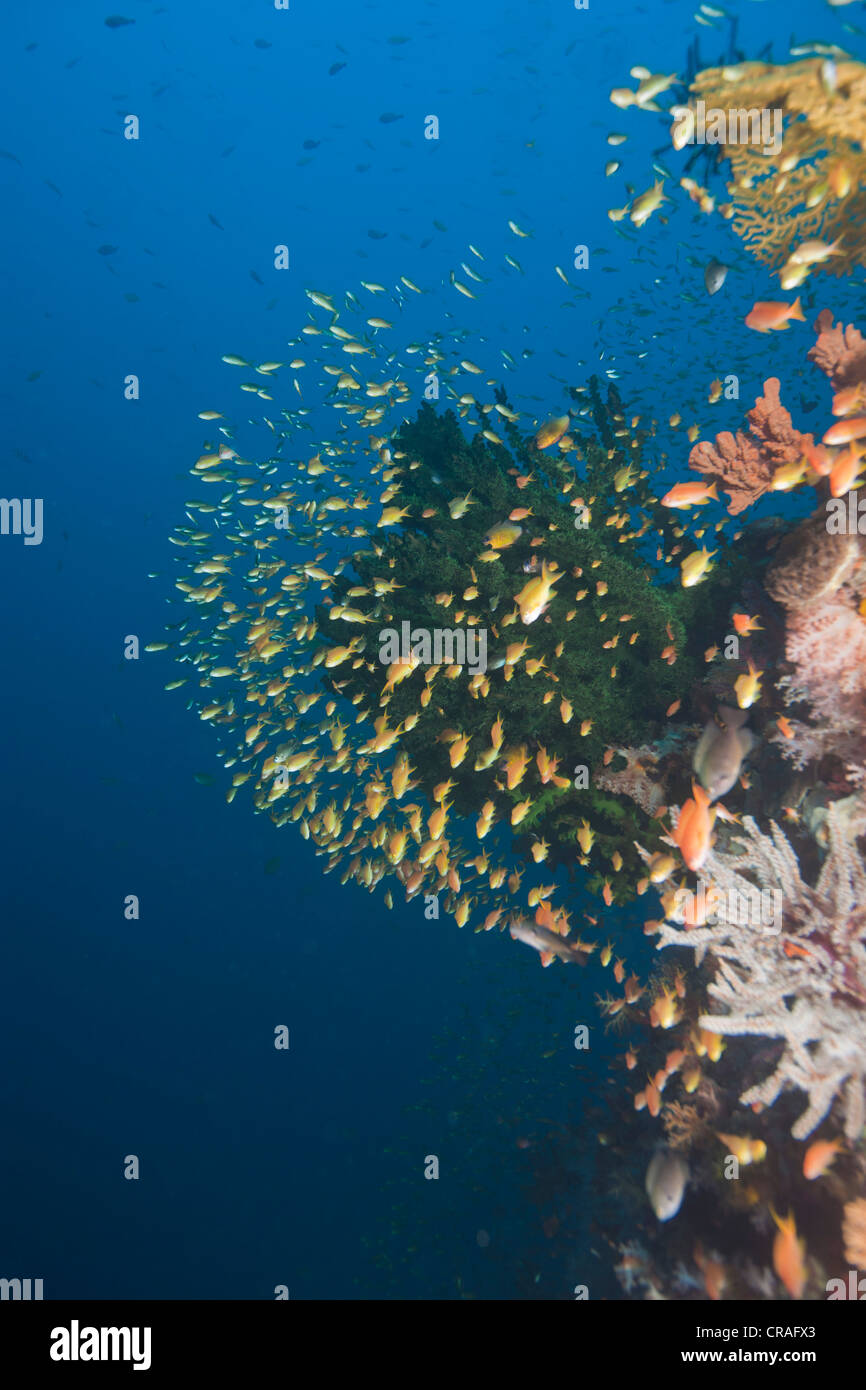 Colorful coral reef with Anthias (Anthiinae), Philippines, Pacific Ocean, Southeast Asia - Stock Image