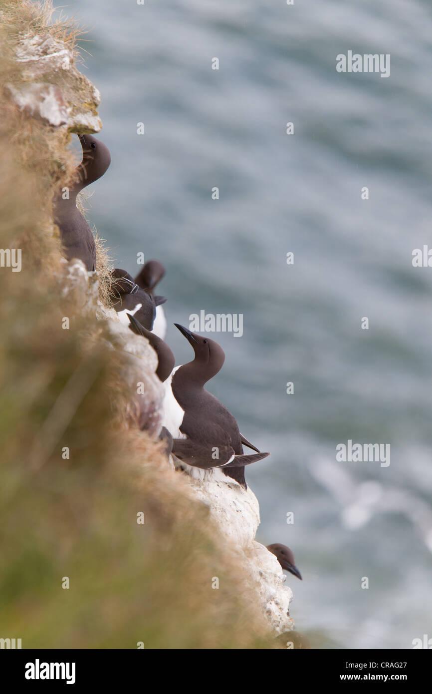 Guillemots nesting on sea cliffs at RSPB site, Fowlsheugh Stonehaven Scotland Stock Photo