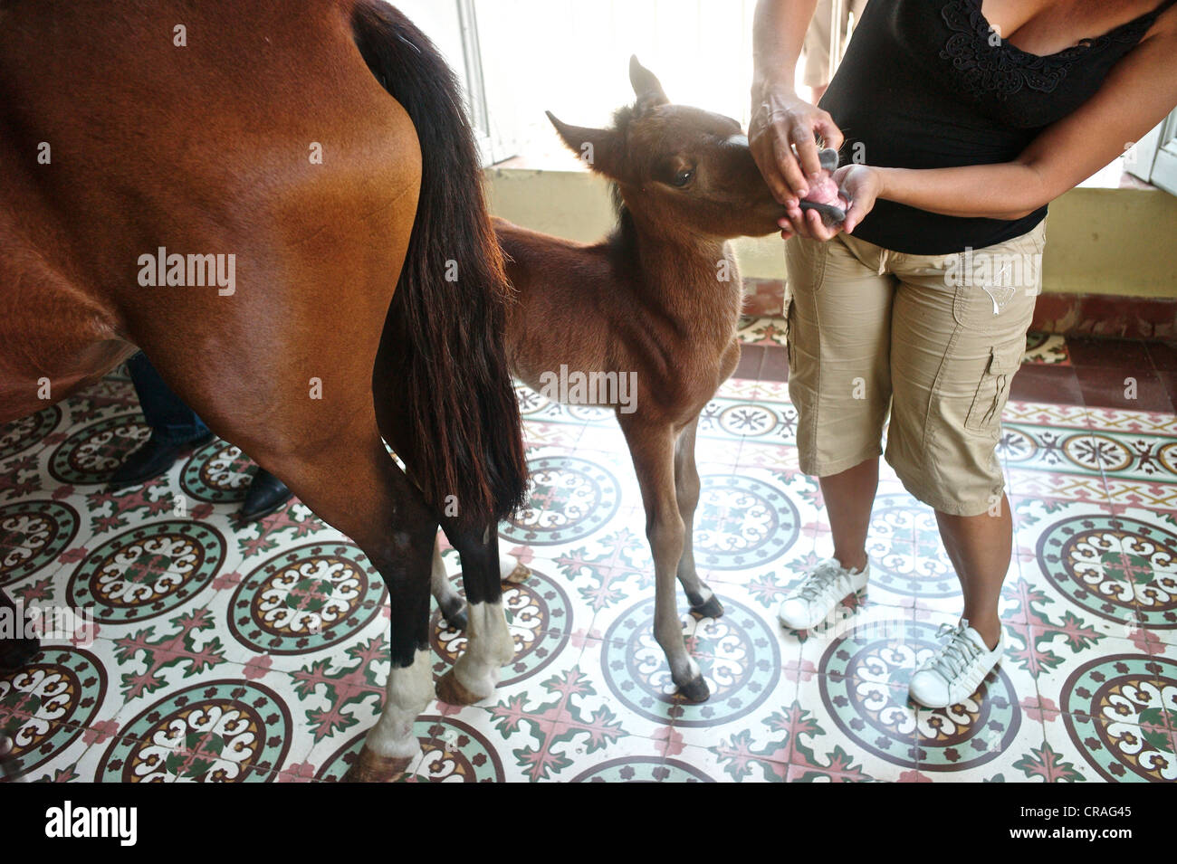 Newborn Baby Horse At The Living Room Of Horse Whisperer Julio Munoz Stock Photo Alamy