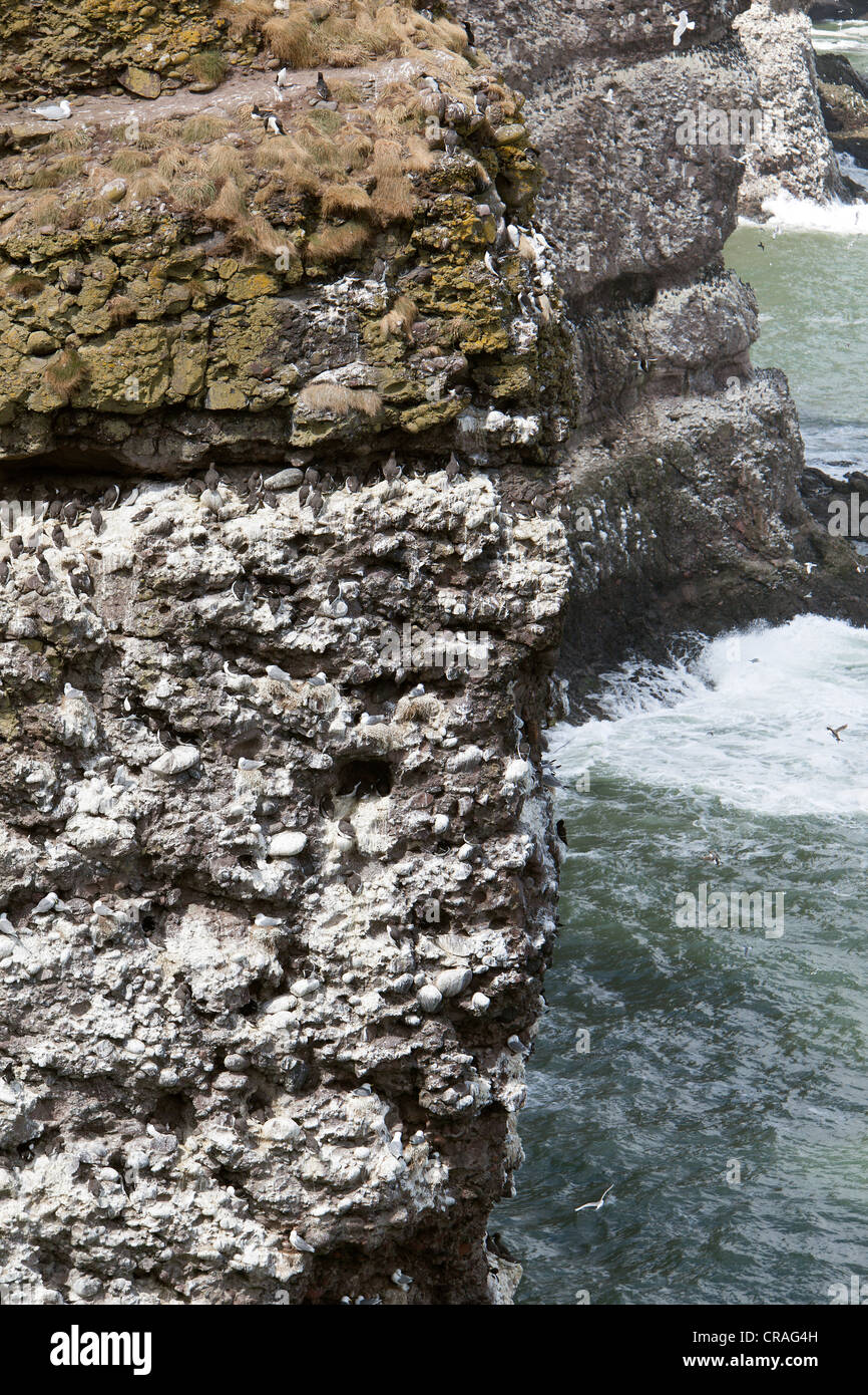 Guillemots nesting on sea cliffs at RSPB site, Fowlsheugh Stonehaven Scotland Stock Photo