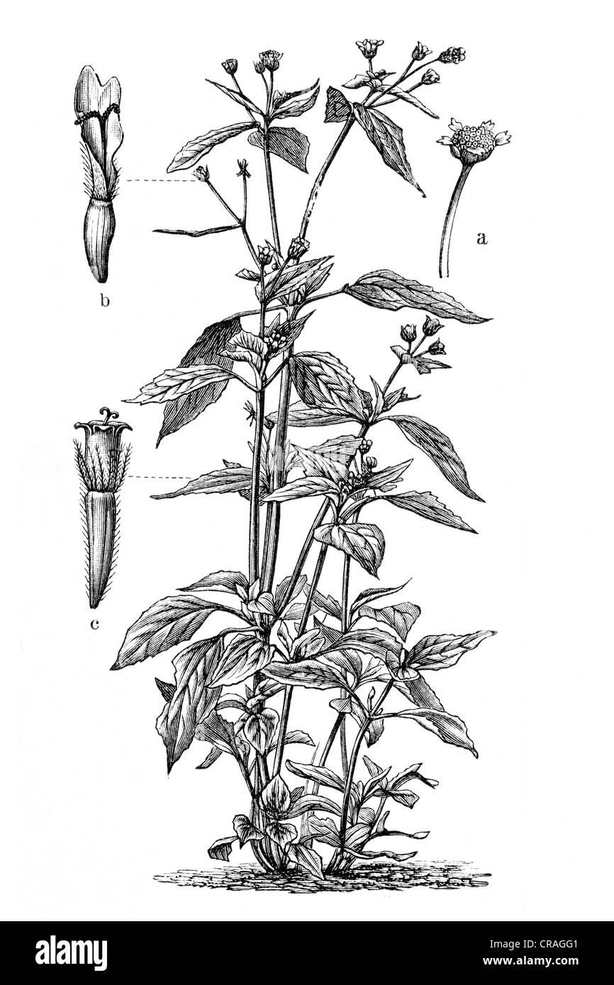 Gallant Soldier (Galinsogaea parviflora), historical illustration, Meyers Konversationslexikon encyclopedia, 1897 - Stock Image
