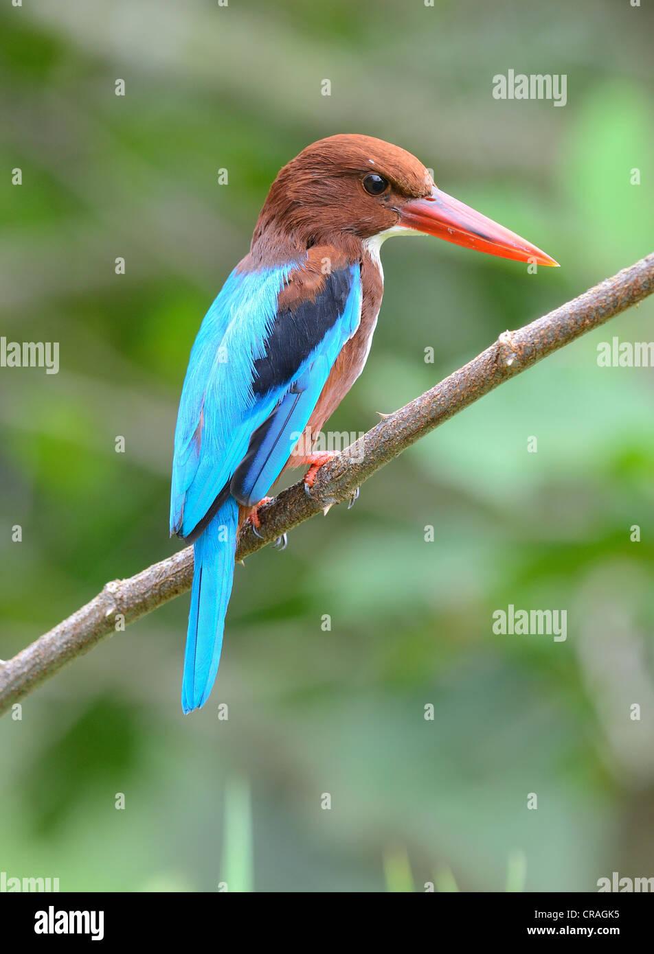 beautiful white-throated kingfisher(Halcyon smyrnensis) - Stock Image