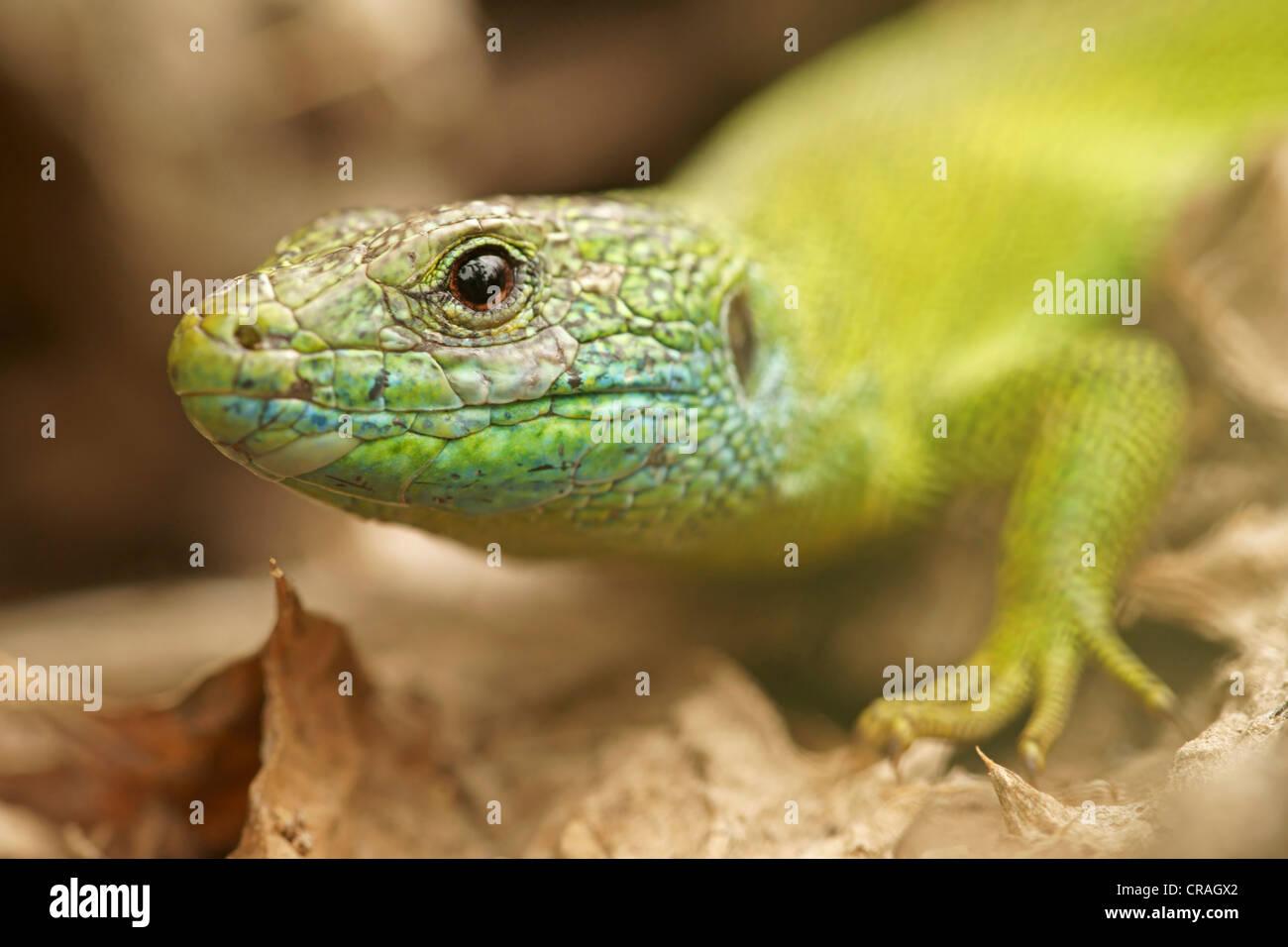 European green lizard (Lacerta viridis), Bulgaria, Europe Stock Photo